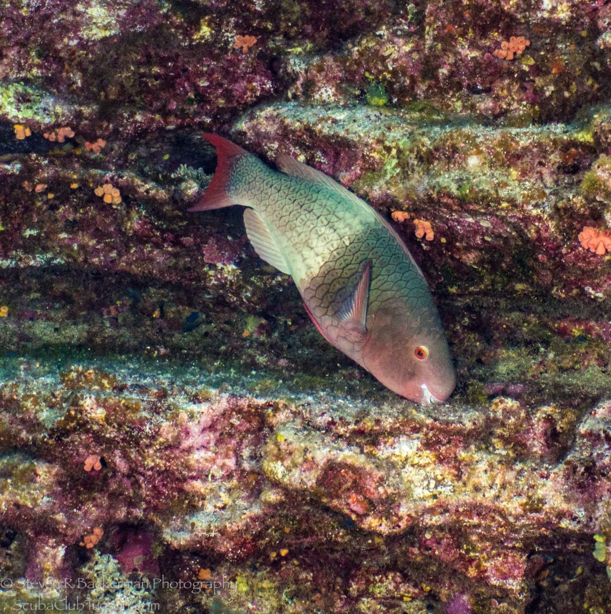 Bicolor Parrotfish Initial Phase-1162
