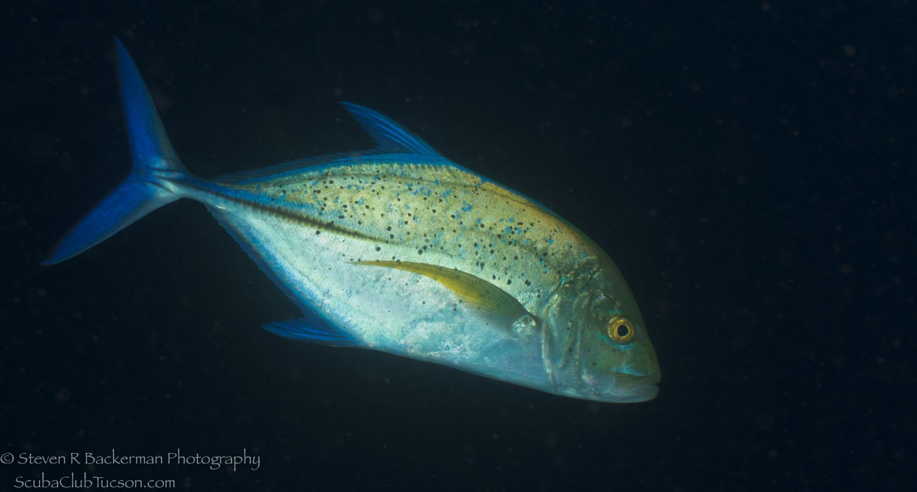 Bluefin Trevally 2-0733