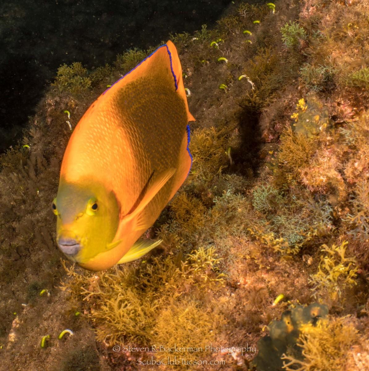 Clarion Angelfish-0741