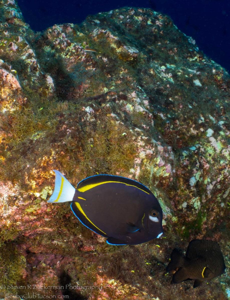 Goldrim Surgeonfish and Whitetail Damselfish-1079