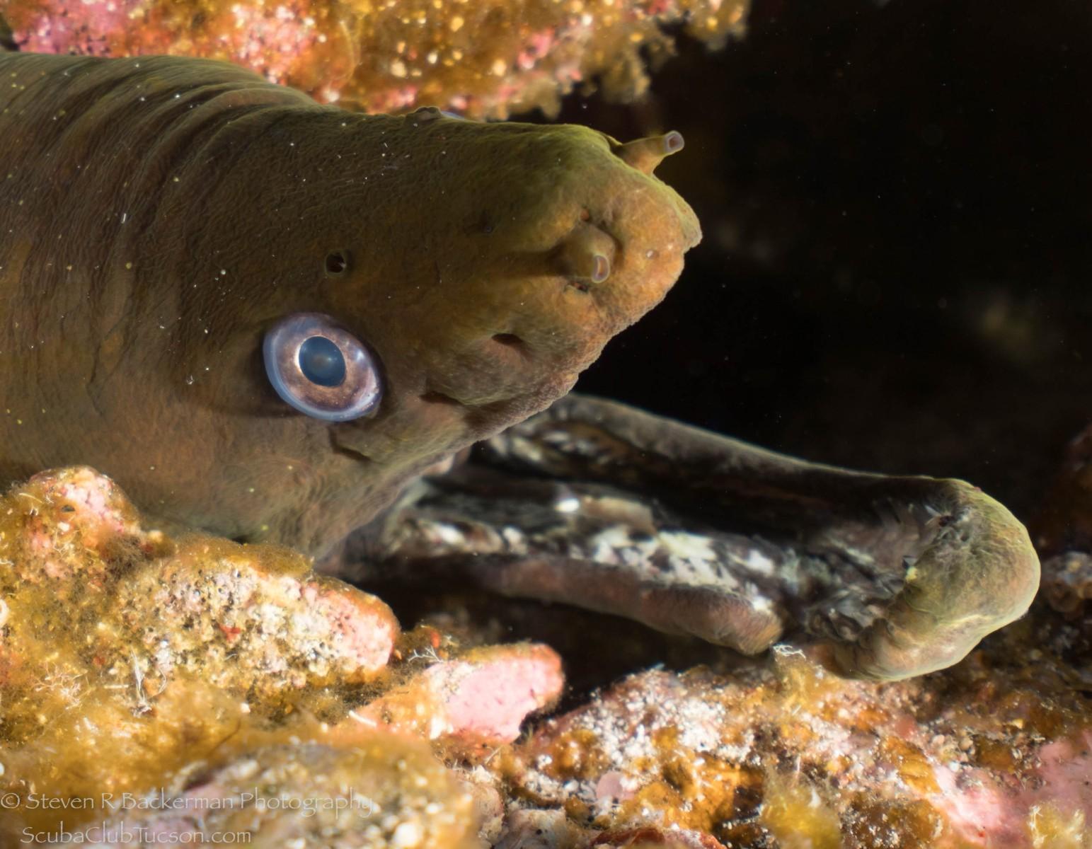 Green Moray Eel 5-1152