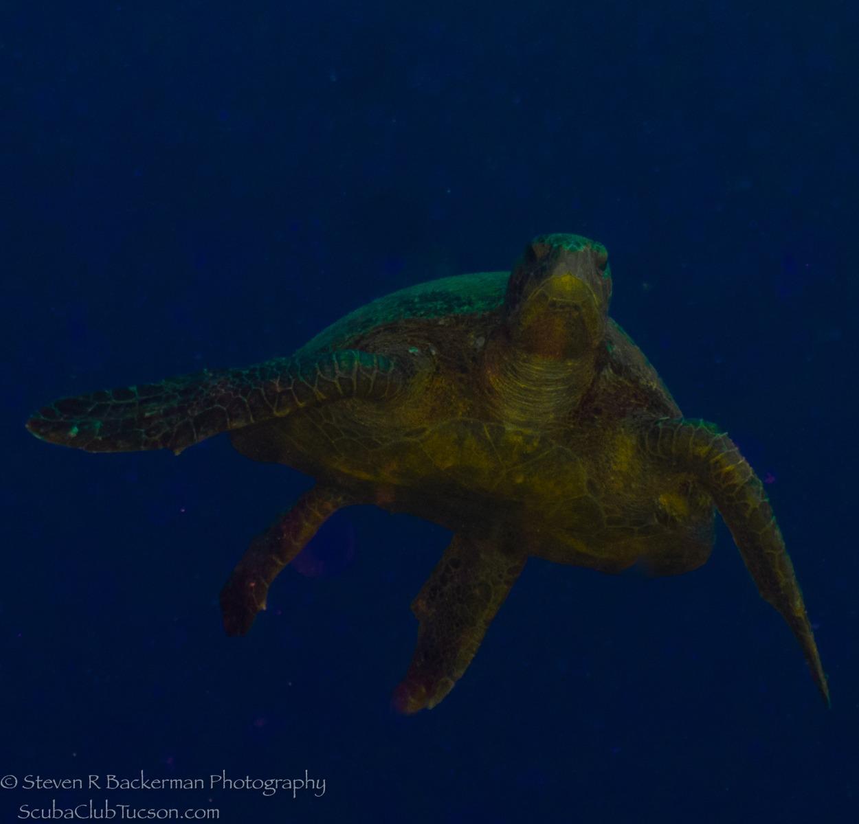 Olive Ridley Sea Turtle-1053