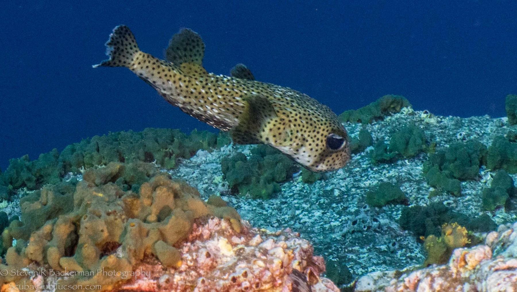 Porcupinefish-0666