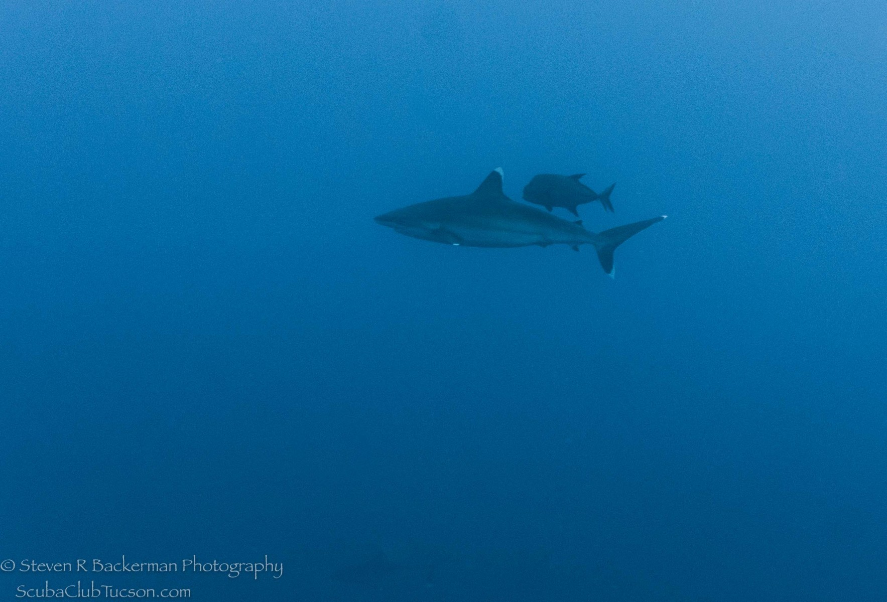 Silvertip Shark and Black Jack-0924