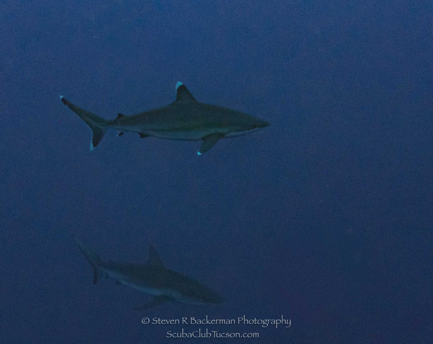 Silvertip Shark and Galapagos Shark-0926
