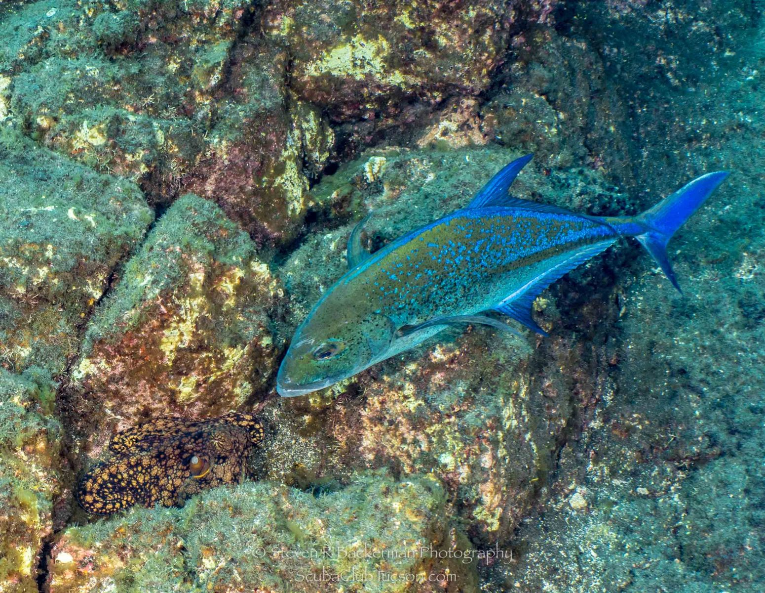 Two-spotted Octopus and Bluefin Trevally-0559