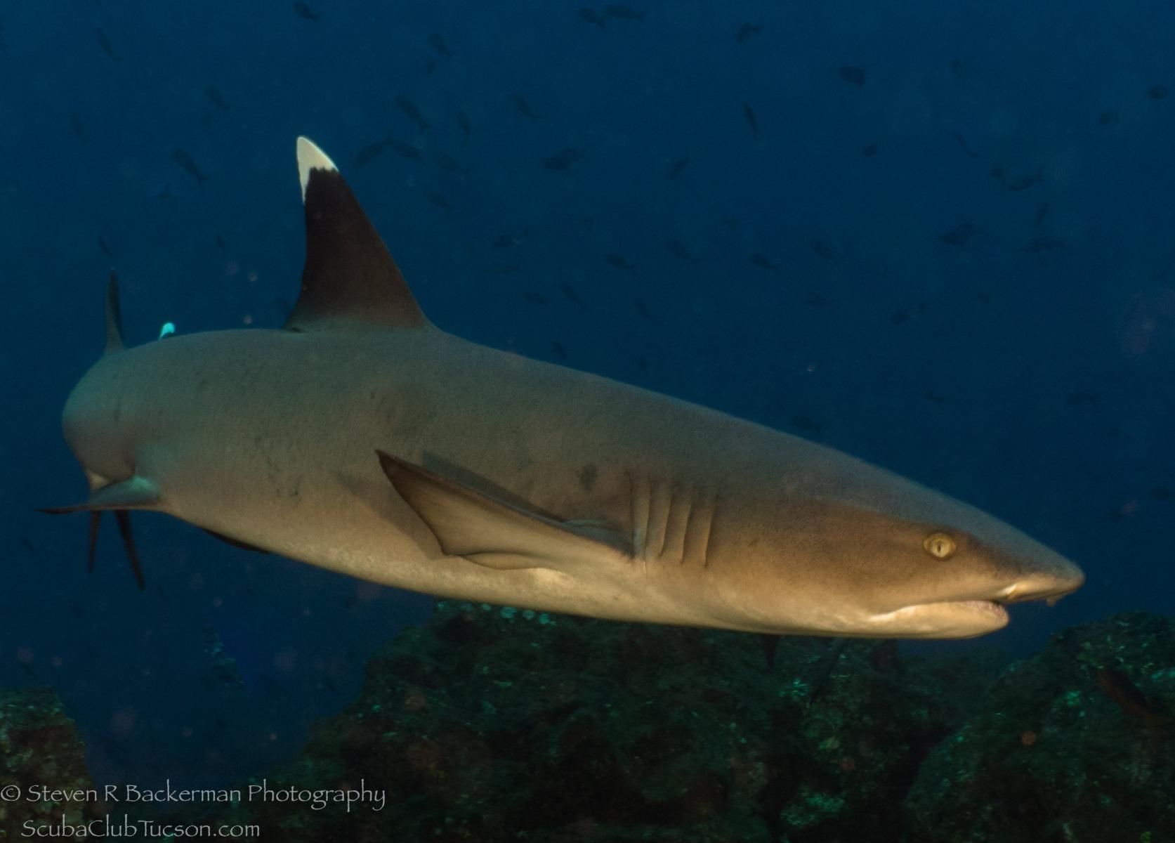 White-tipped Reef Shark 15-1077
