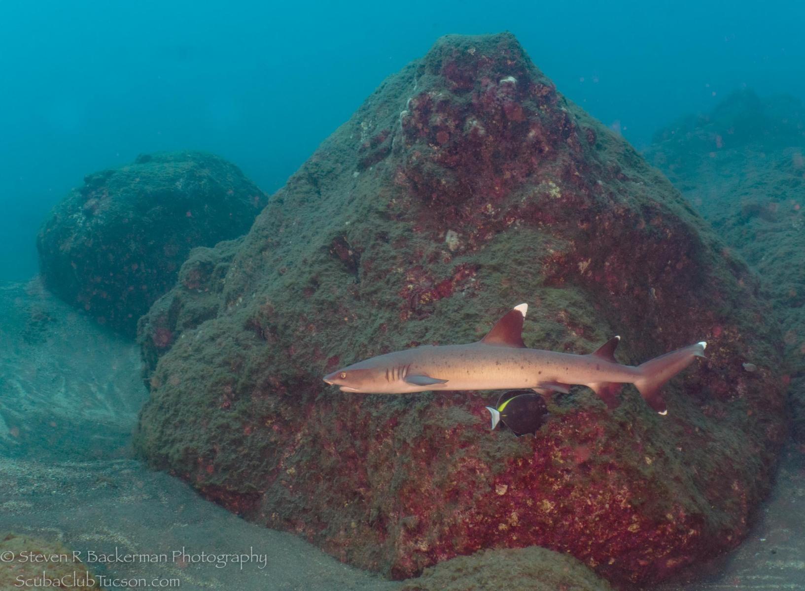 White-tipped Reef Shark 2-0550