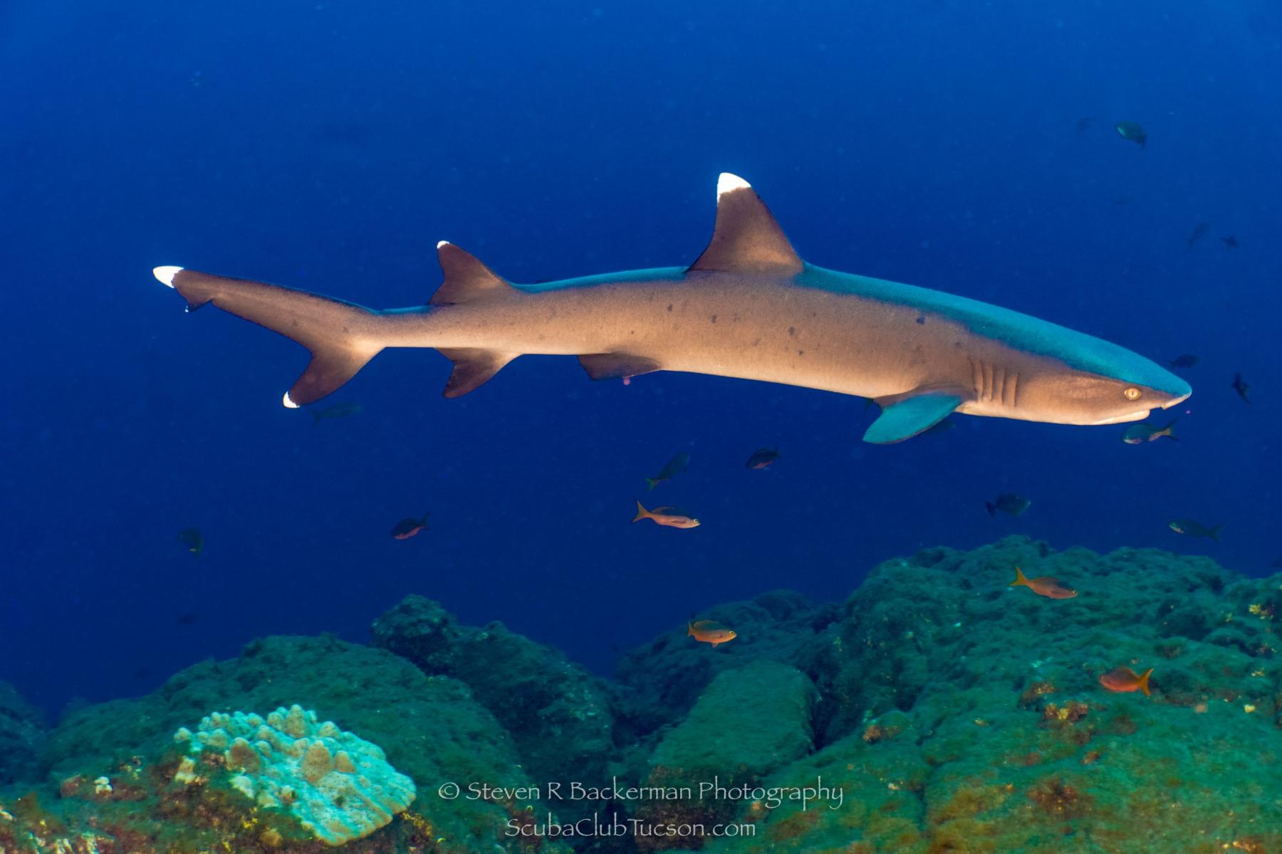 White-tipped Reef Shark 2-0580