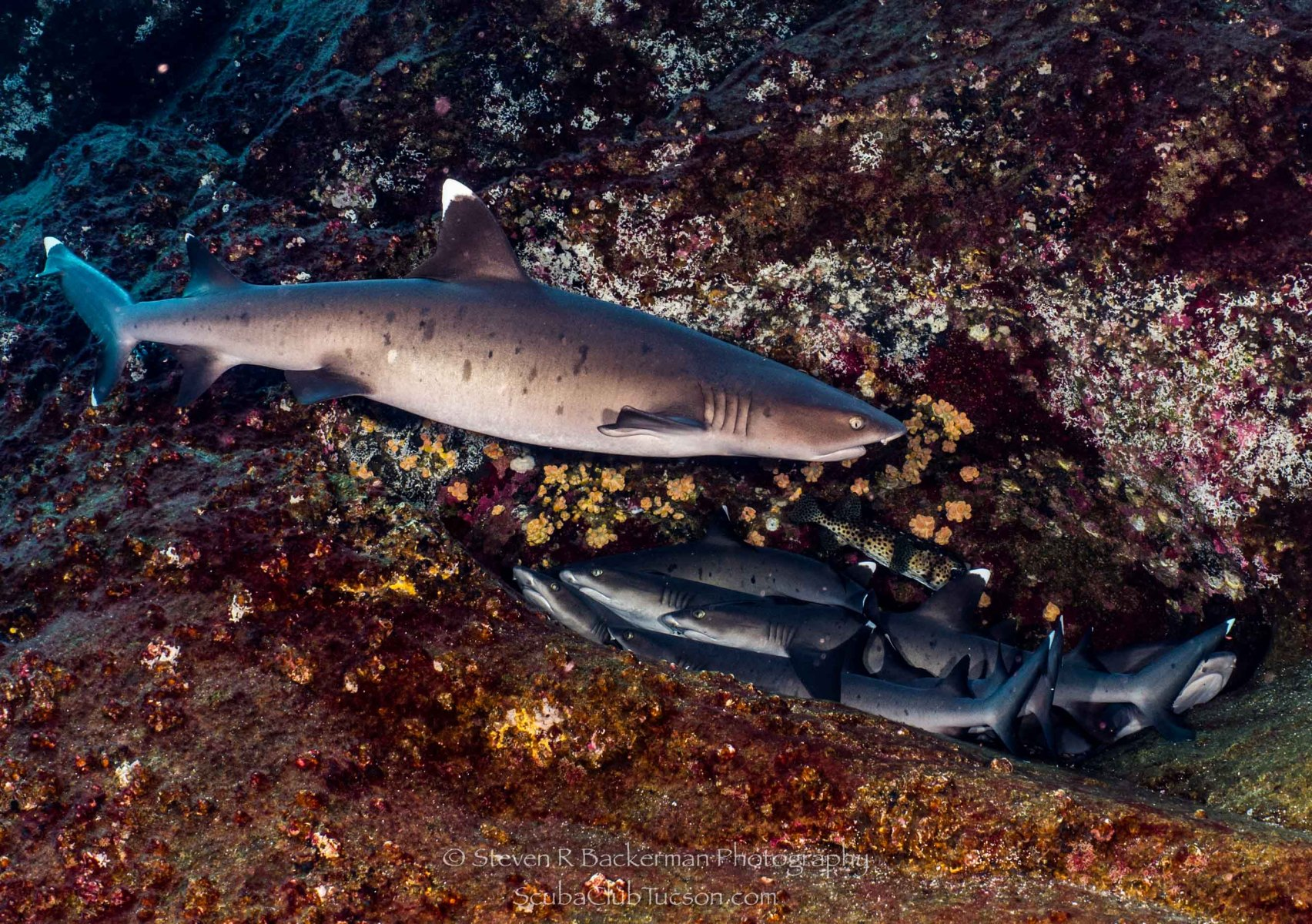 White-tipped Reef Sharks-0766