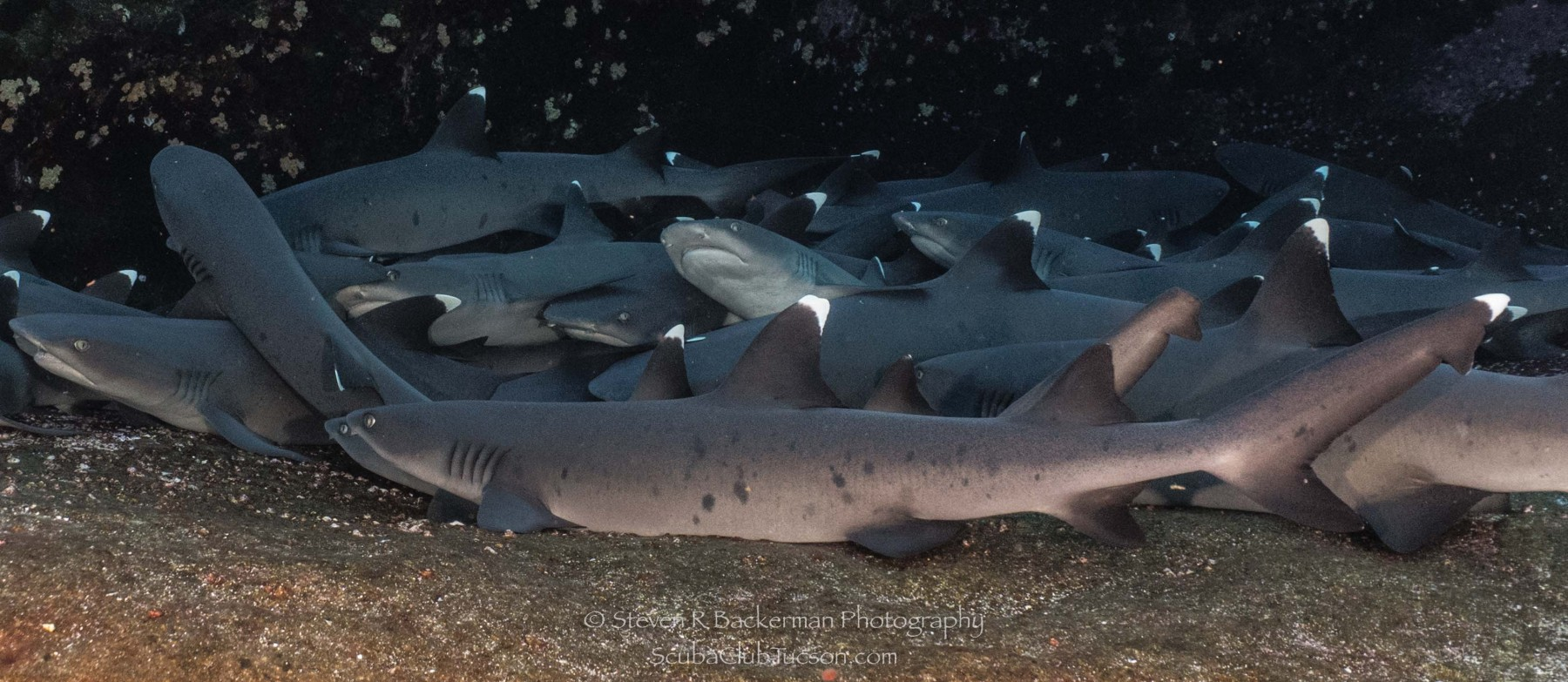 White-tipped Reef Sharks 3-0817