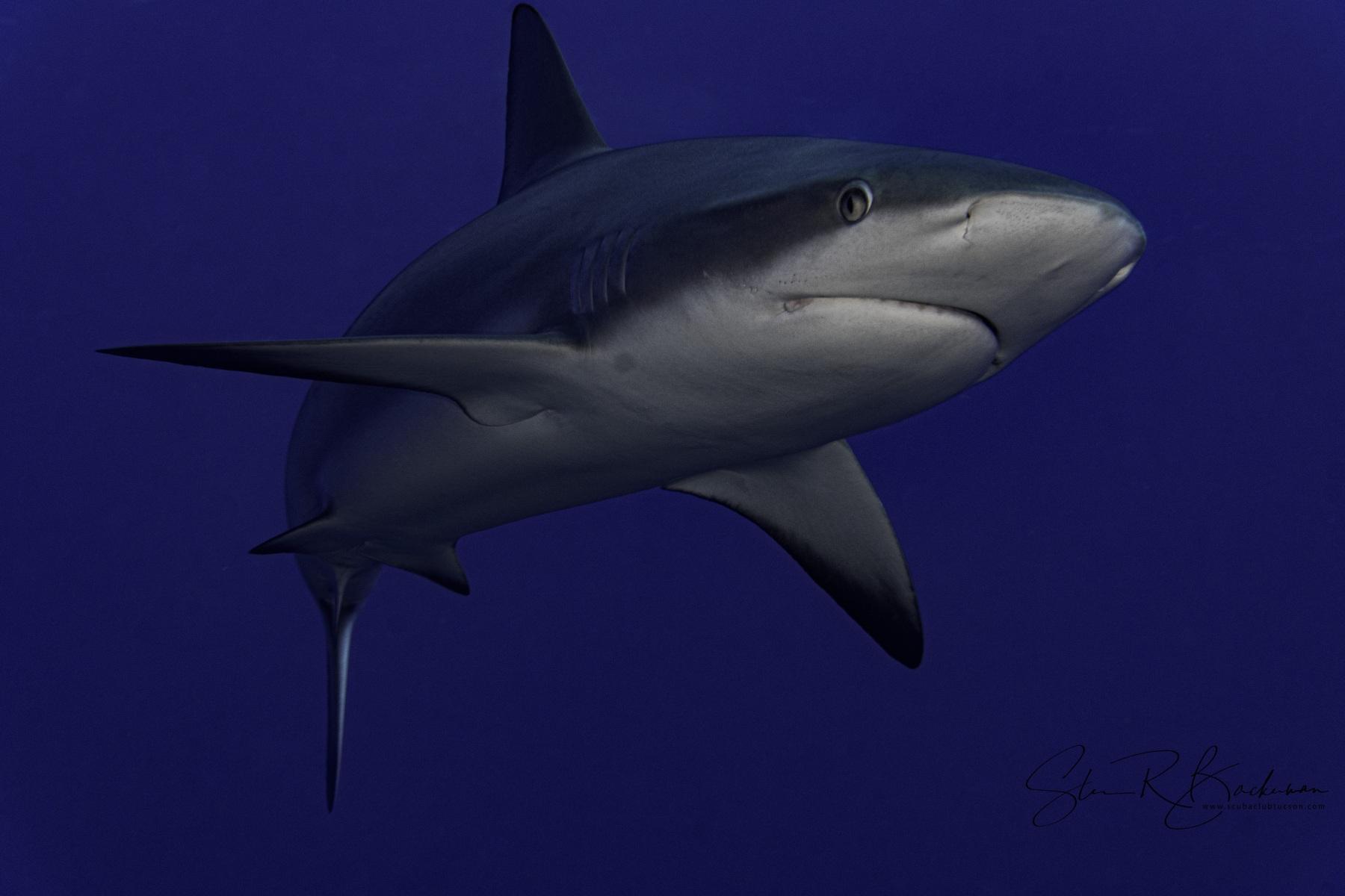 Caribbean-Reef-Shark-2