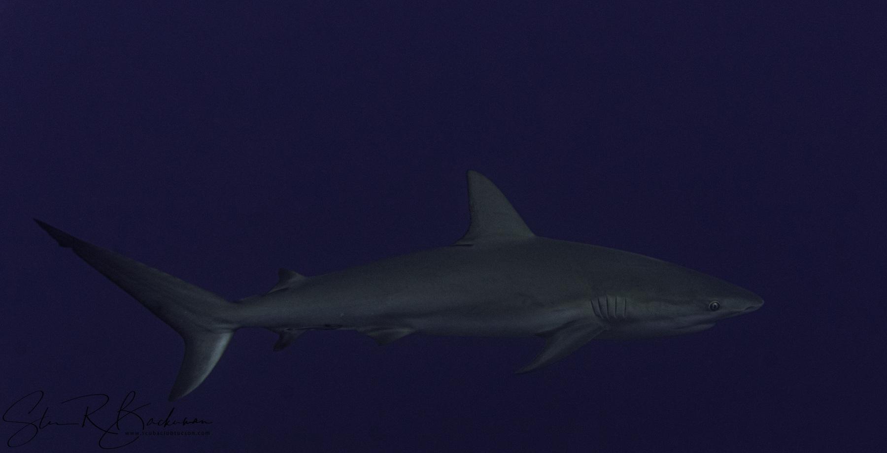 Caribbean-Reef-Shark