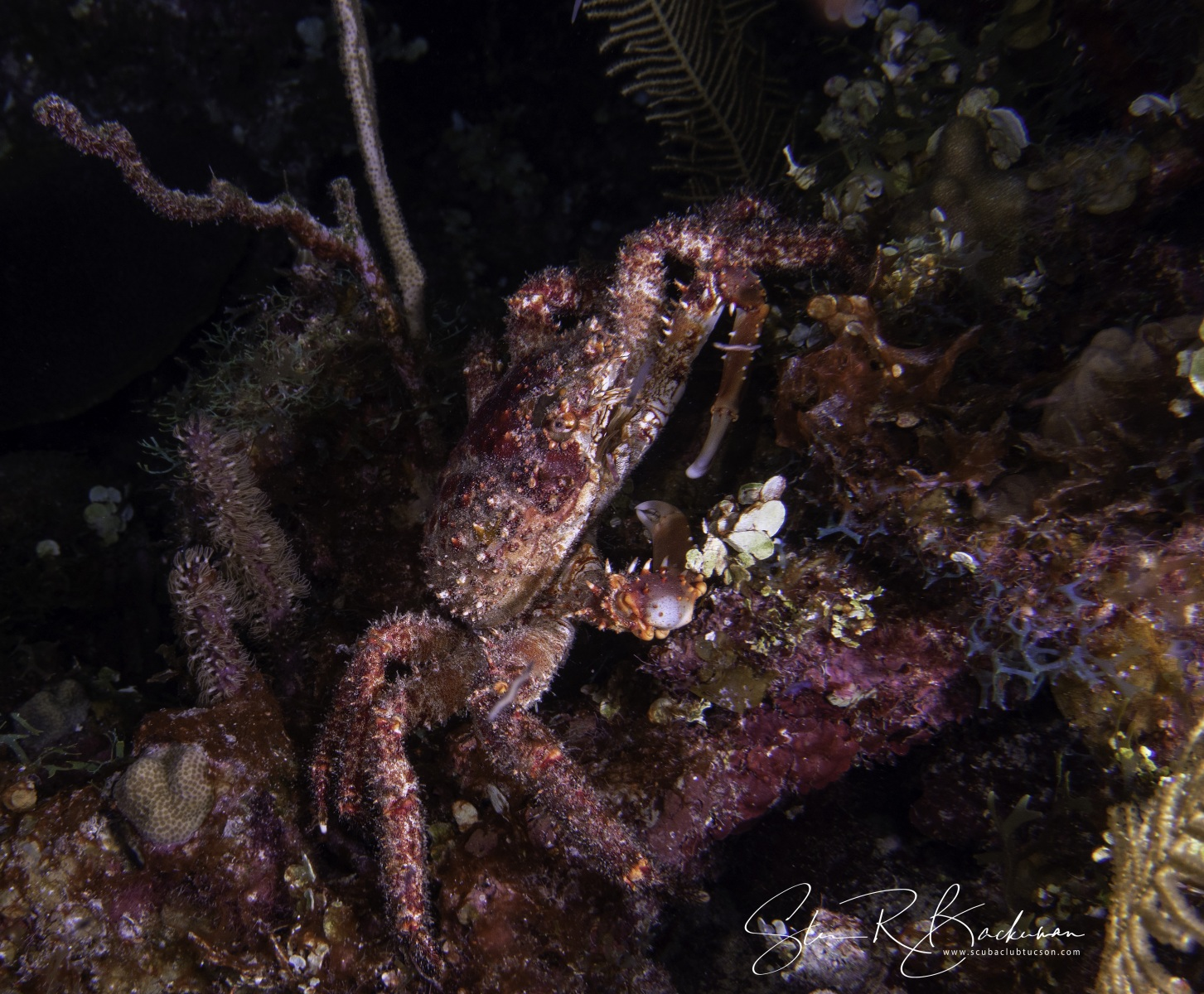 Channel-Clinging-Crab-2