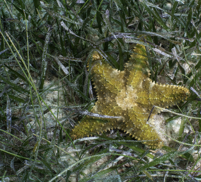 Cushion-Sea-Star