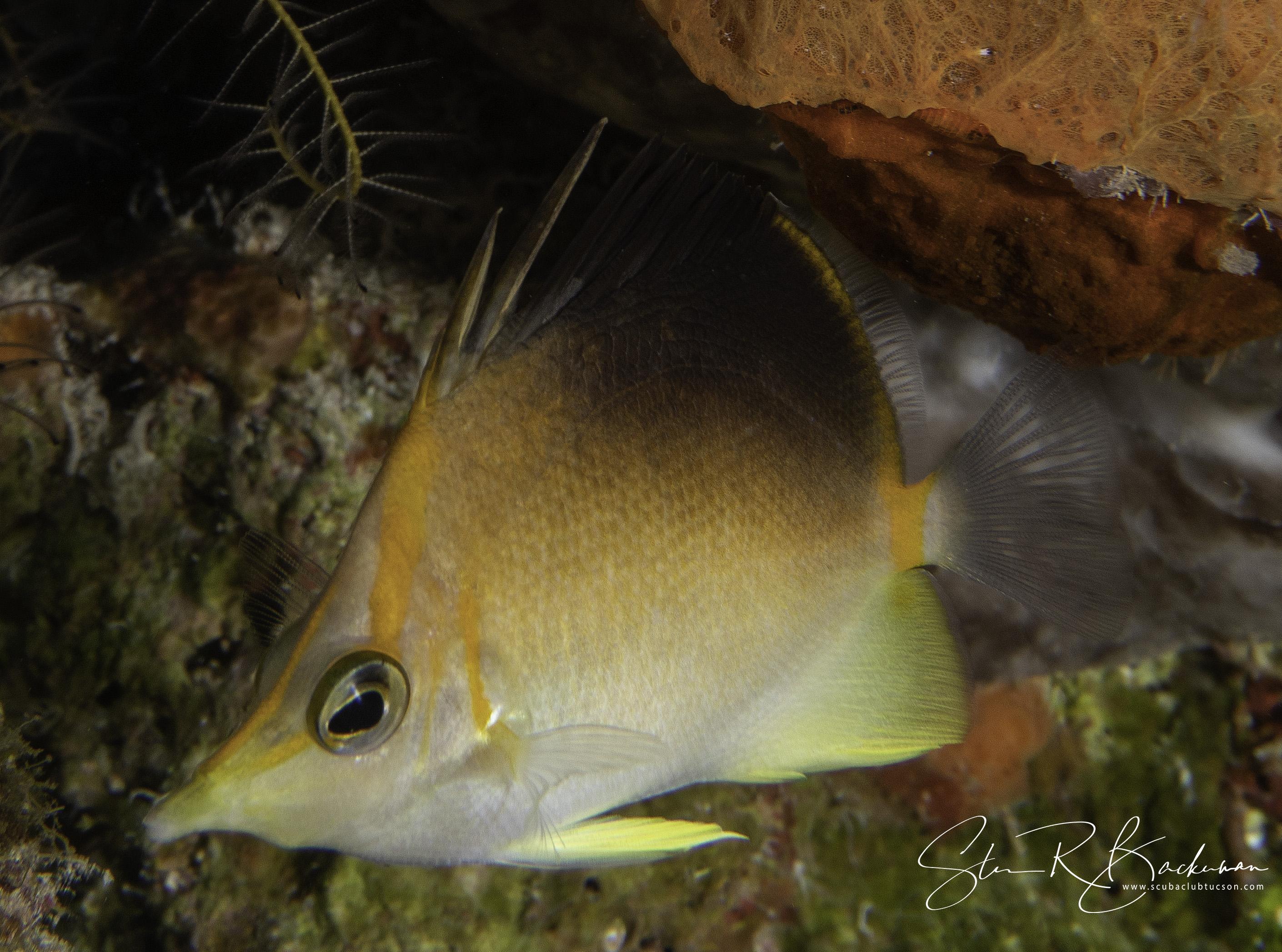 Longsnout-Butterflyfish