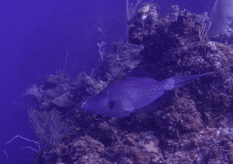 Scrawled-Filefish