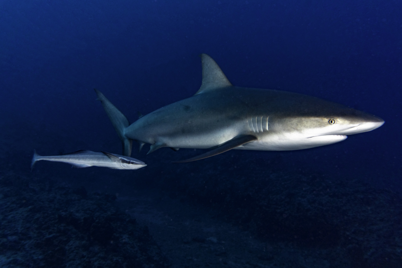 Sharksucker-chasing-Caribbean-Reef-Shark