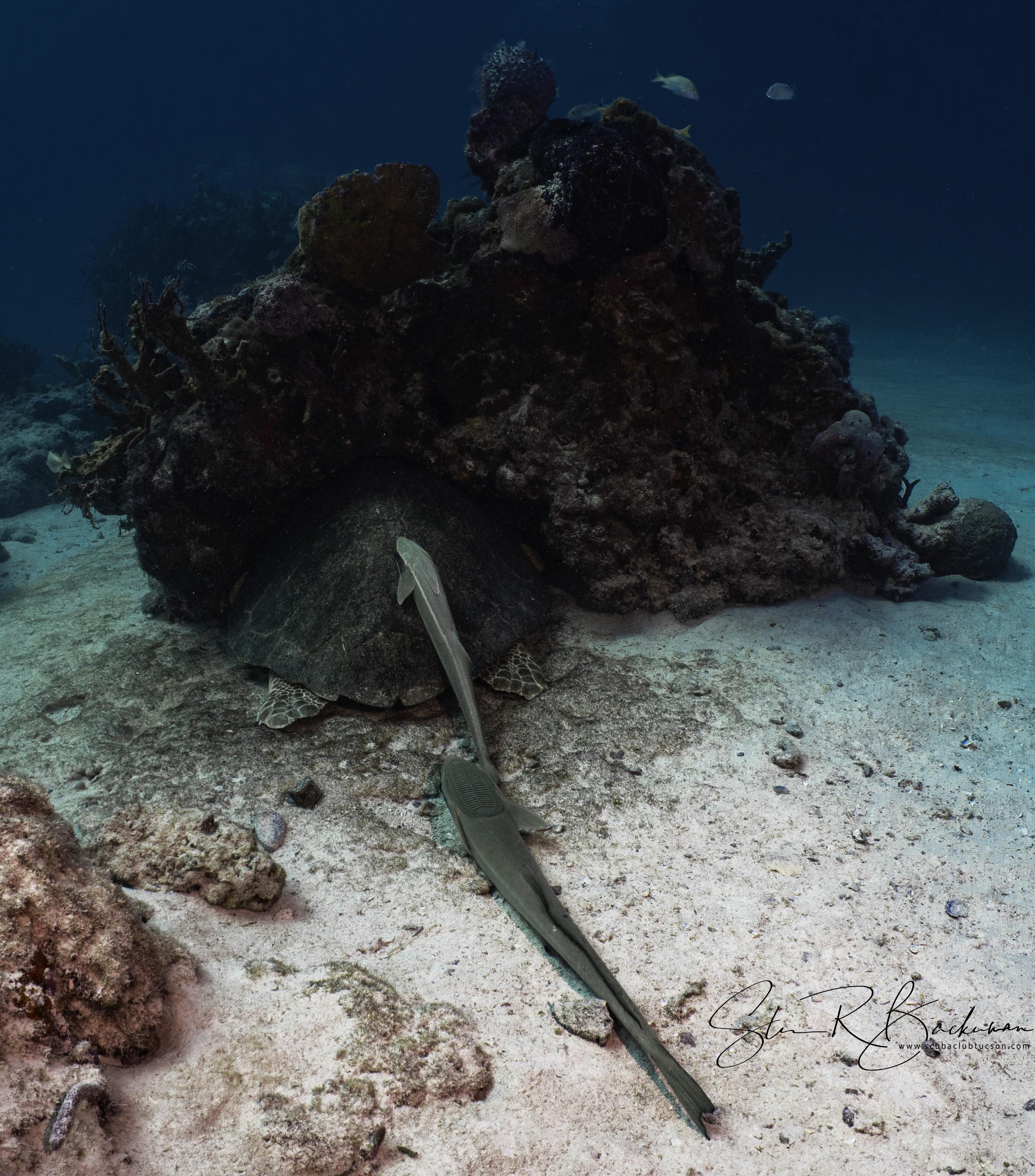 Sharksuckers-and-a-Loggerhead