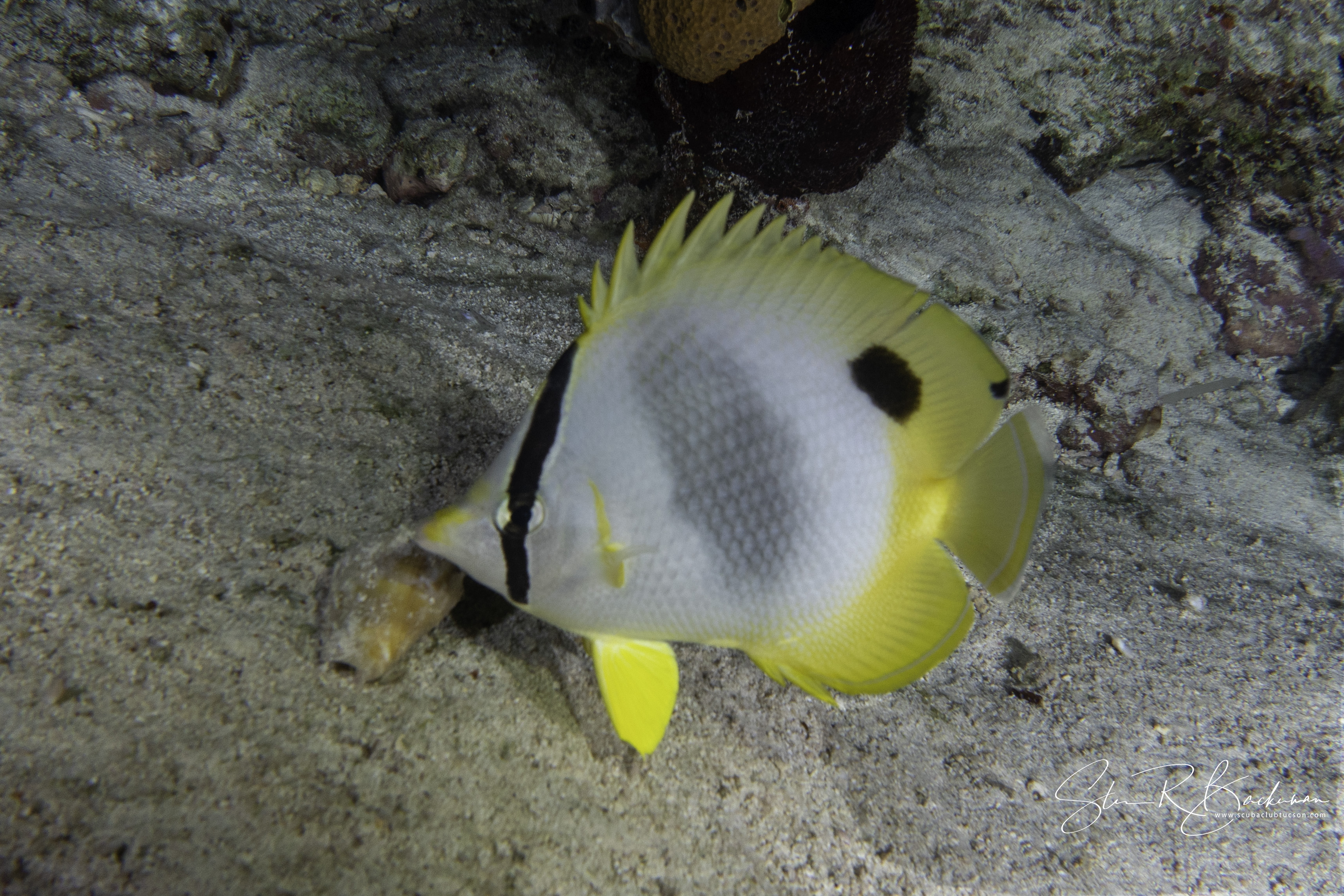 Spotfin-Butterflyfish