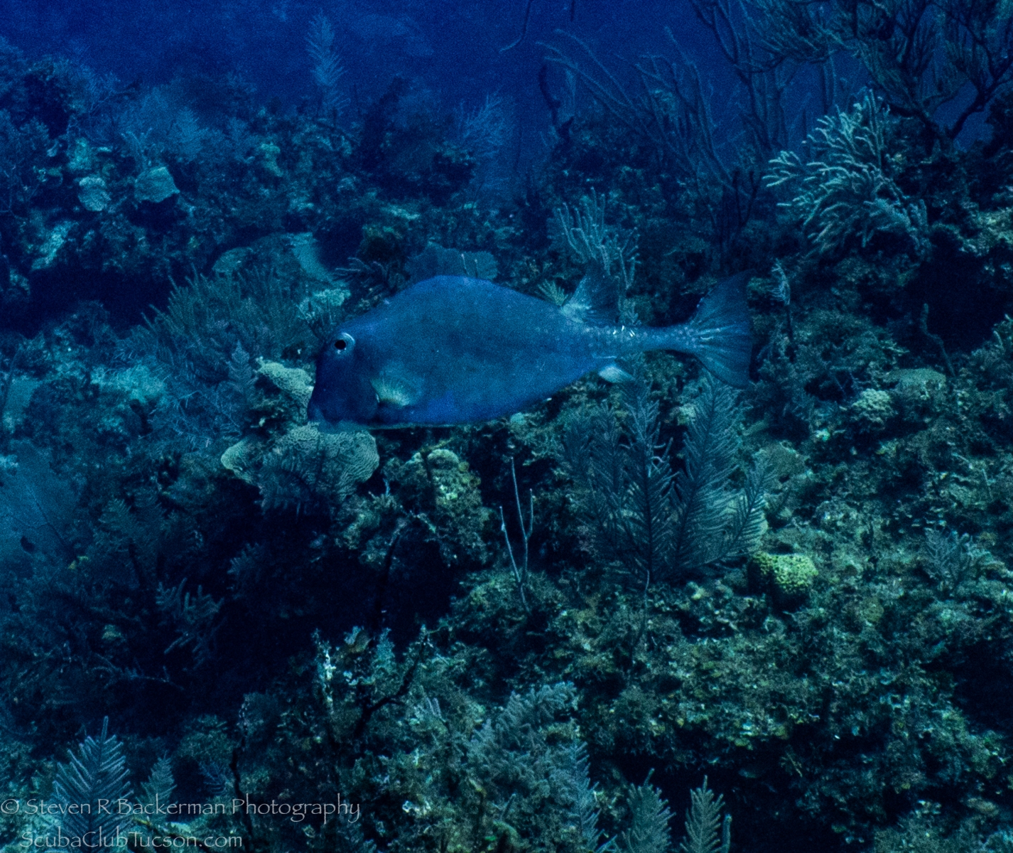 Buffalo-Trunkfish-3830