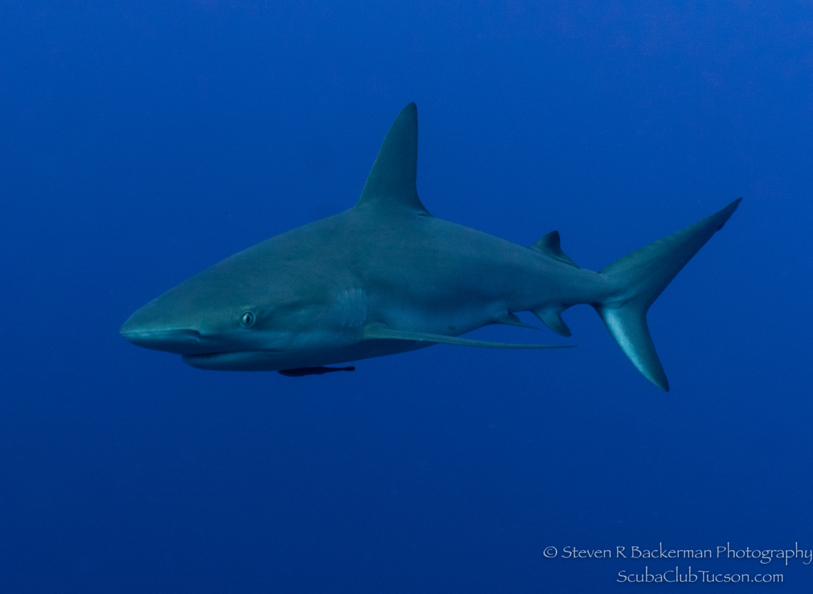 Caribbean-Reef-Shark-3777