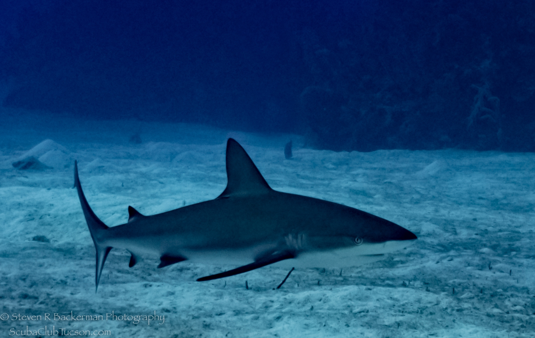 Caribbean-Reef-Shark-4006