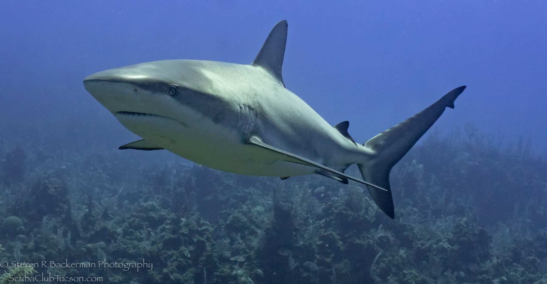 Caribbean-Reef-Shark-4198