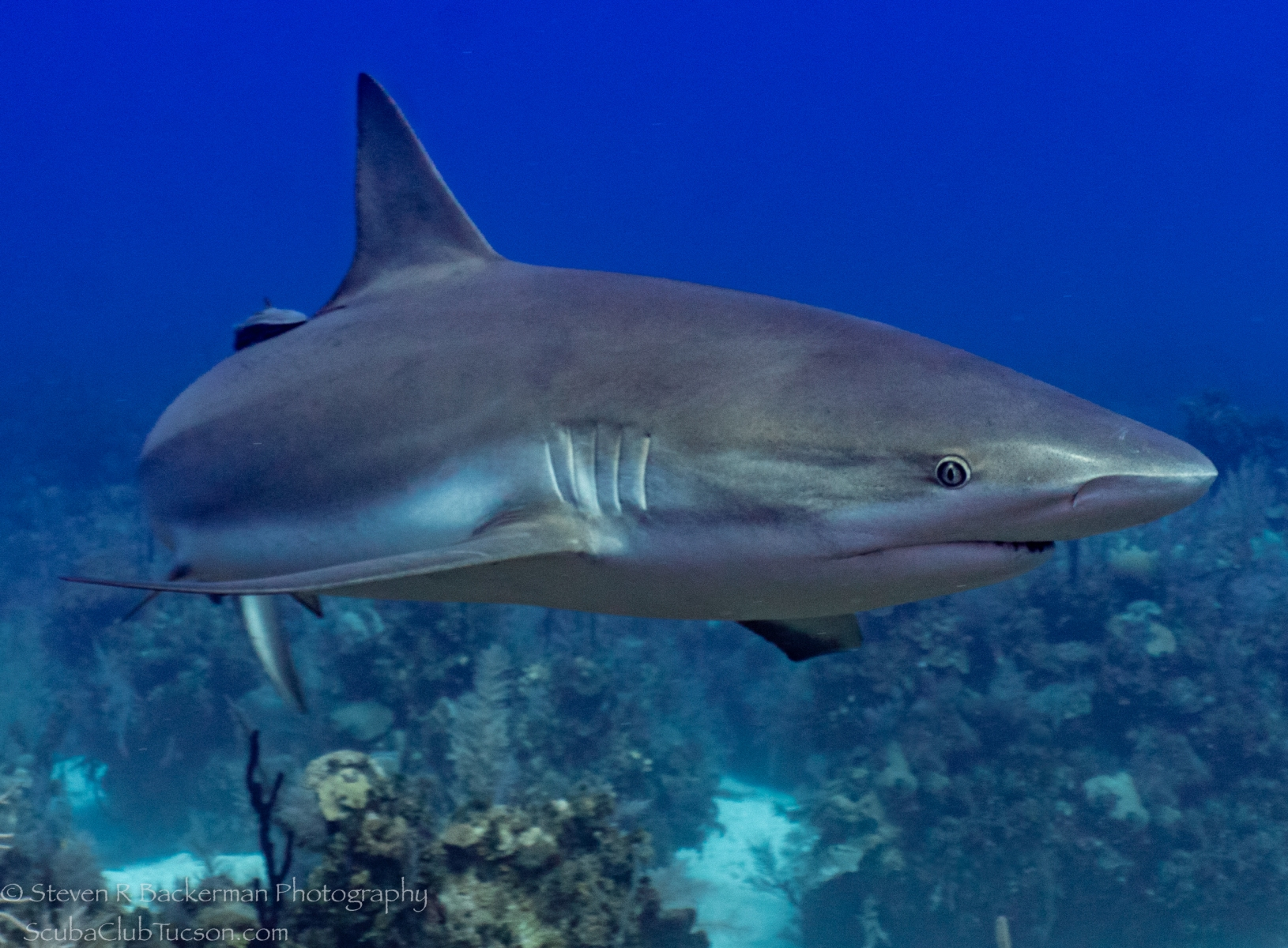 Caribbean-Reef-Shark-4216