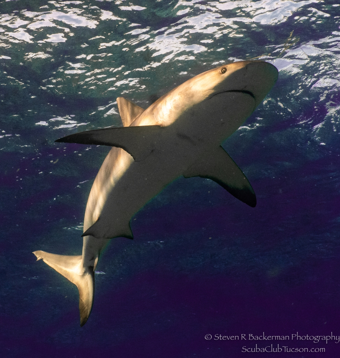 Caribbean-Reef-Shark-4653