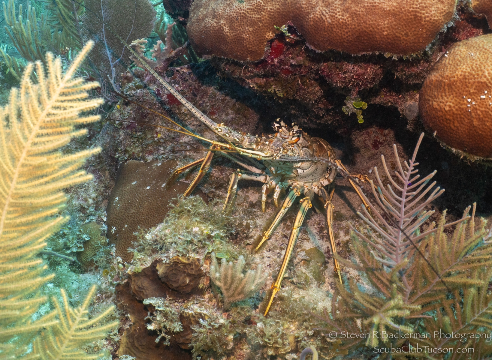 Caribbean-Spiny-Lobster-4117