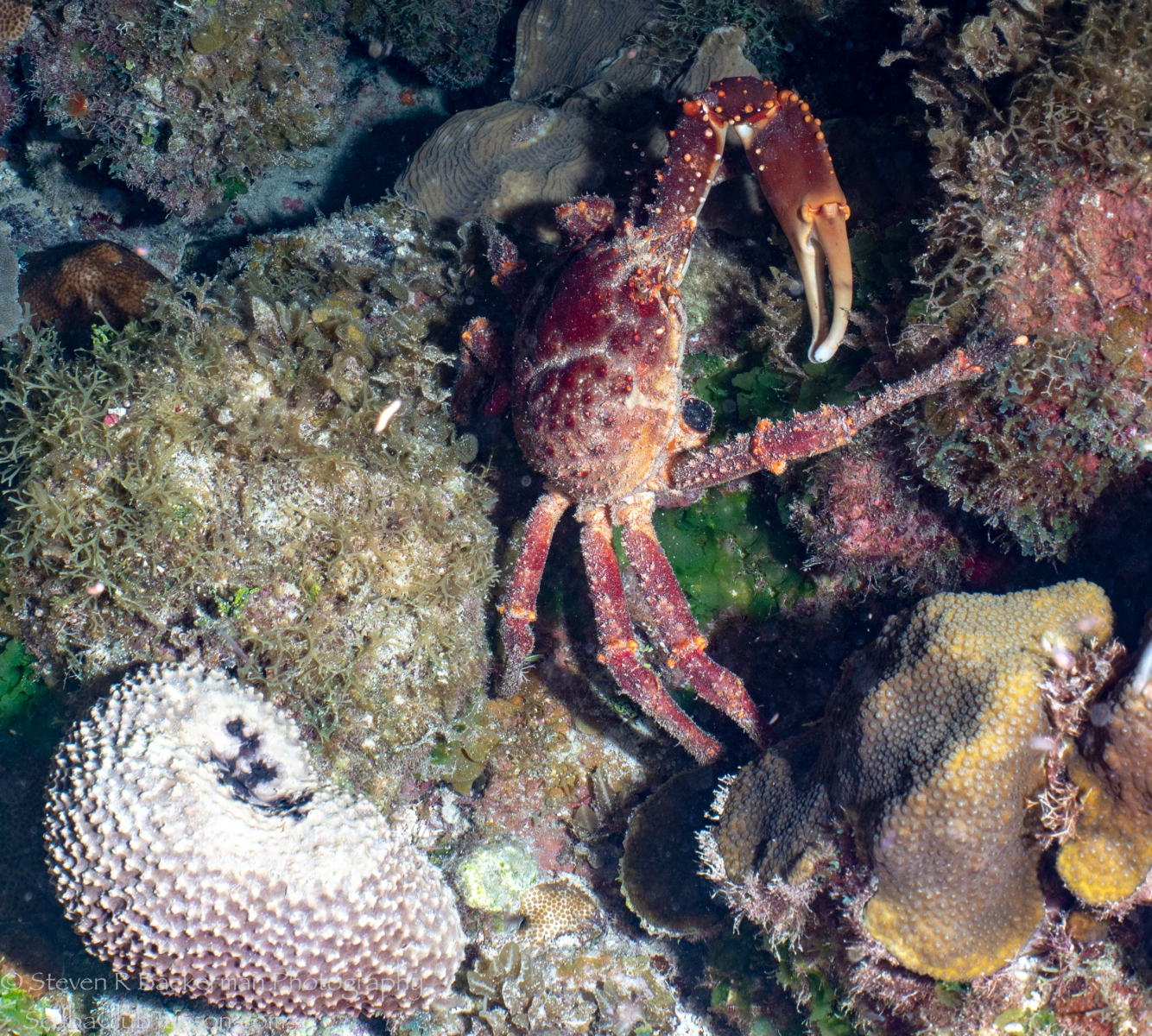 Channel-Clinging-Crab-4363
