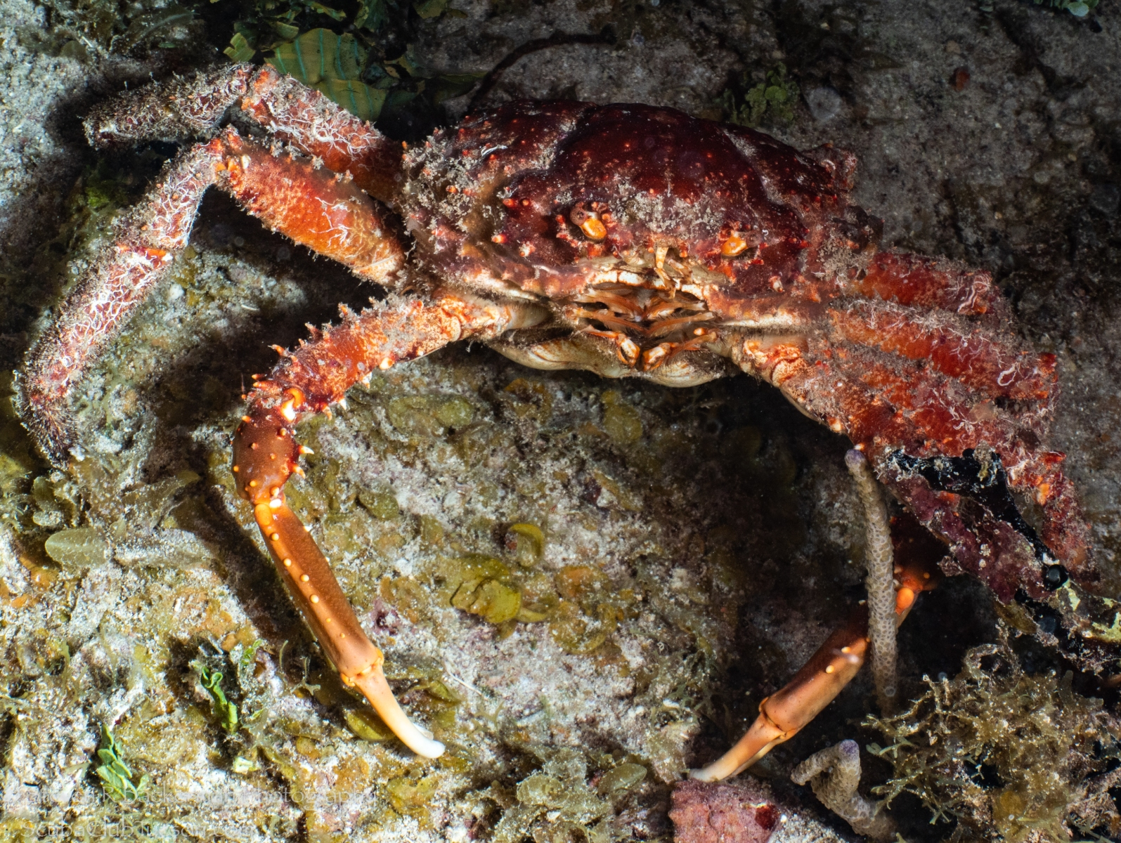 Channel-Clinging-Crab-4404