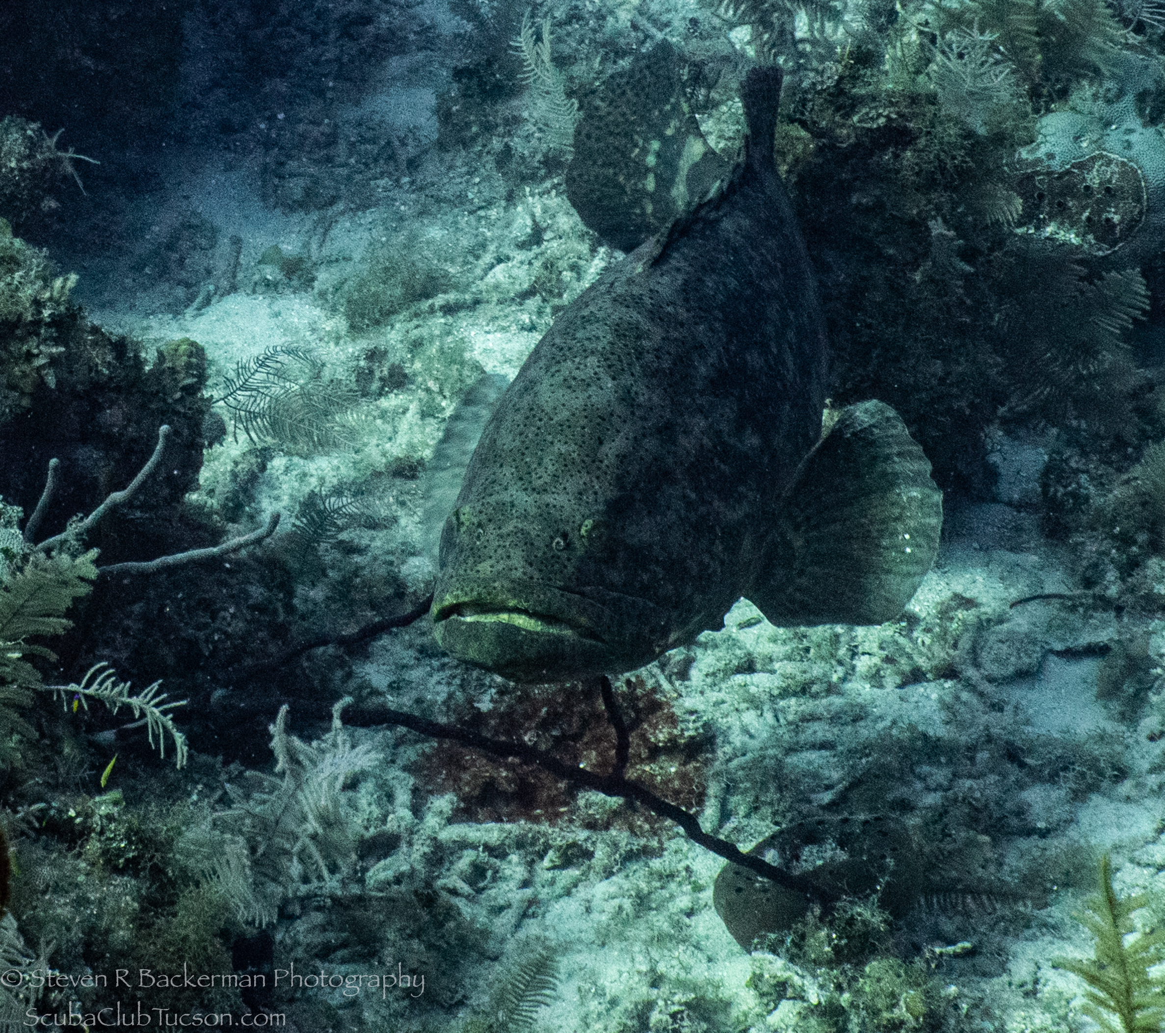 Goliath-Grouper-3888