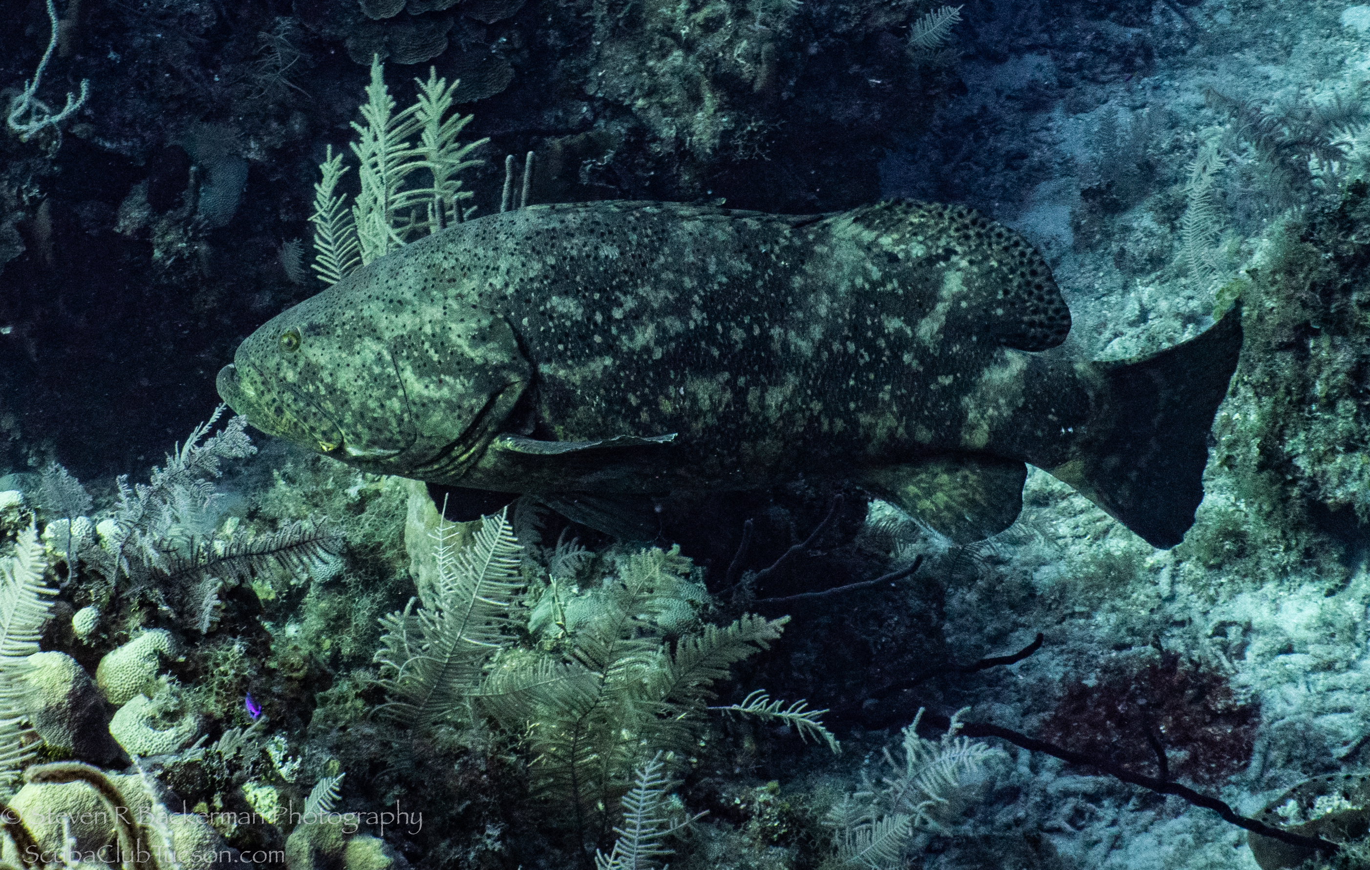 Goliath-Grouper-3889