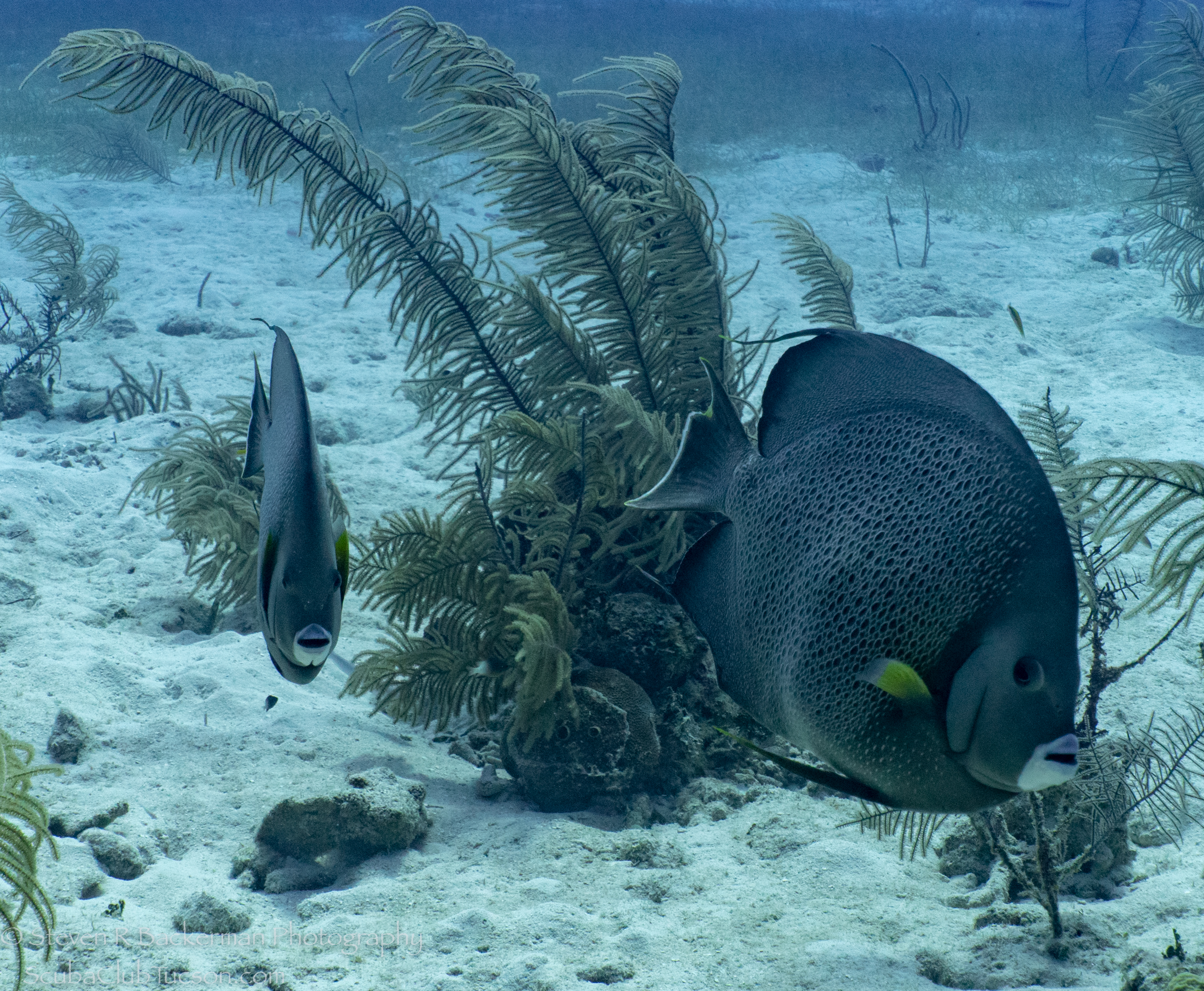 Gray-Angelfish-4272