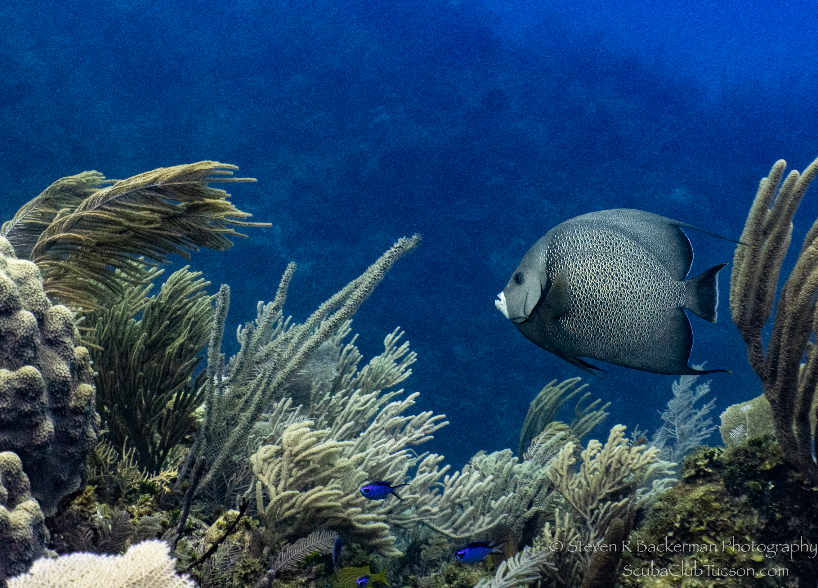 Gray-Angelfish-4733