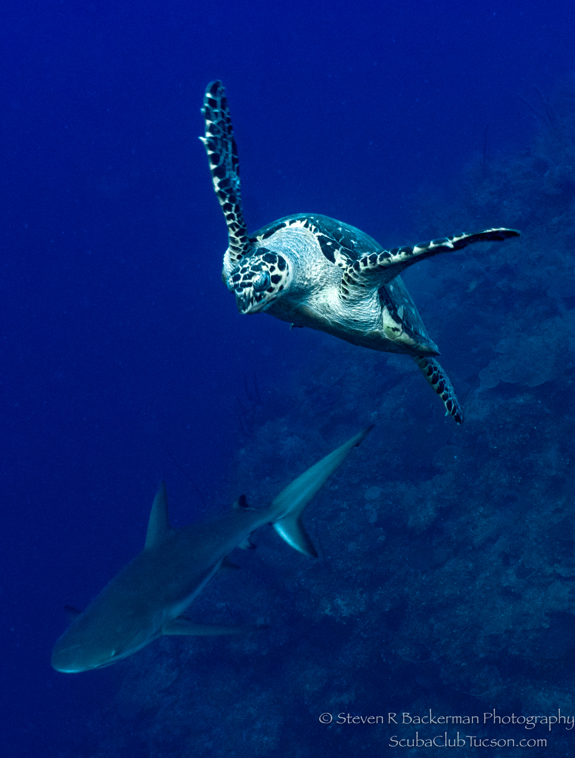 Hawksbill-Sea-Turtle-and-Caribbean-Reef-Shark-3780