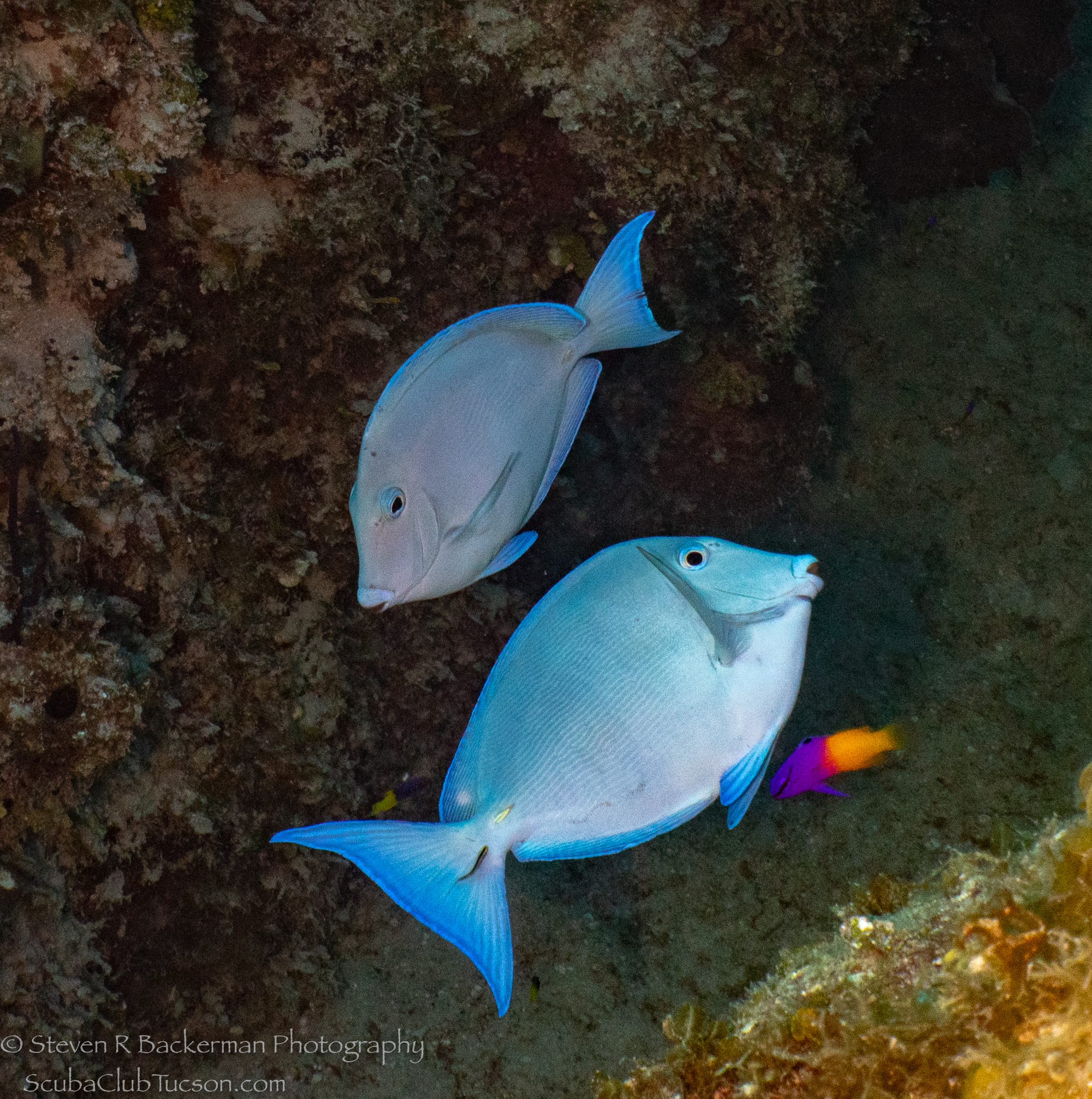 Pair-of-Blue-Tangs-4131