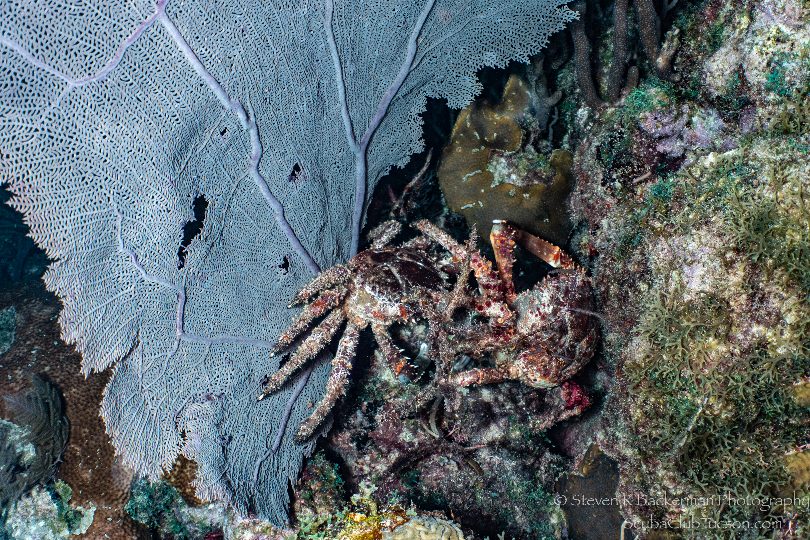 Pair-of-fighting-Channel-Clinging-Crabs-3949