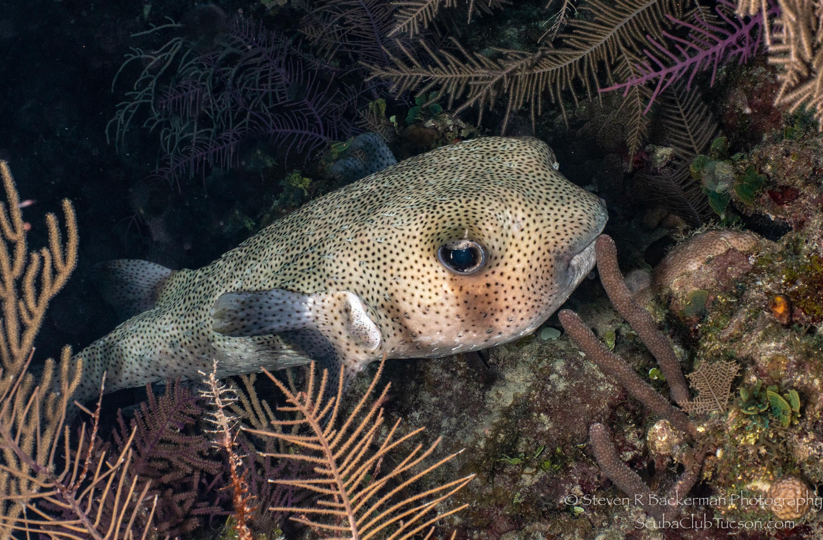 Porcupinefish-3907