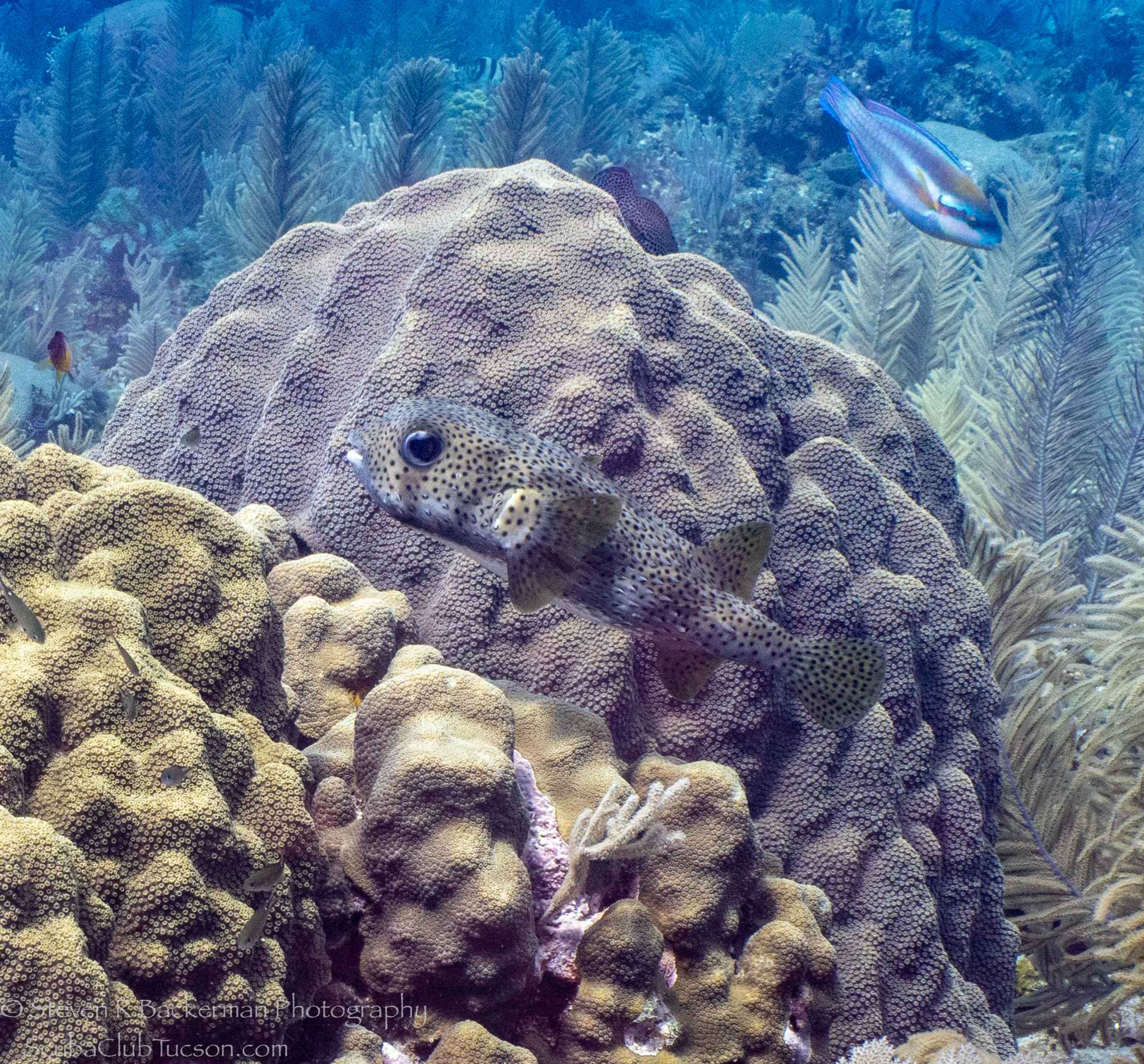 Porcupinefish-and-Striped-Parrotfish-4332