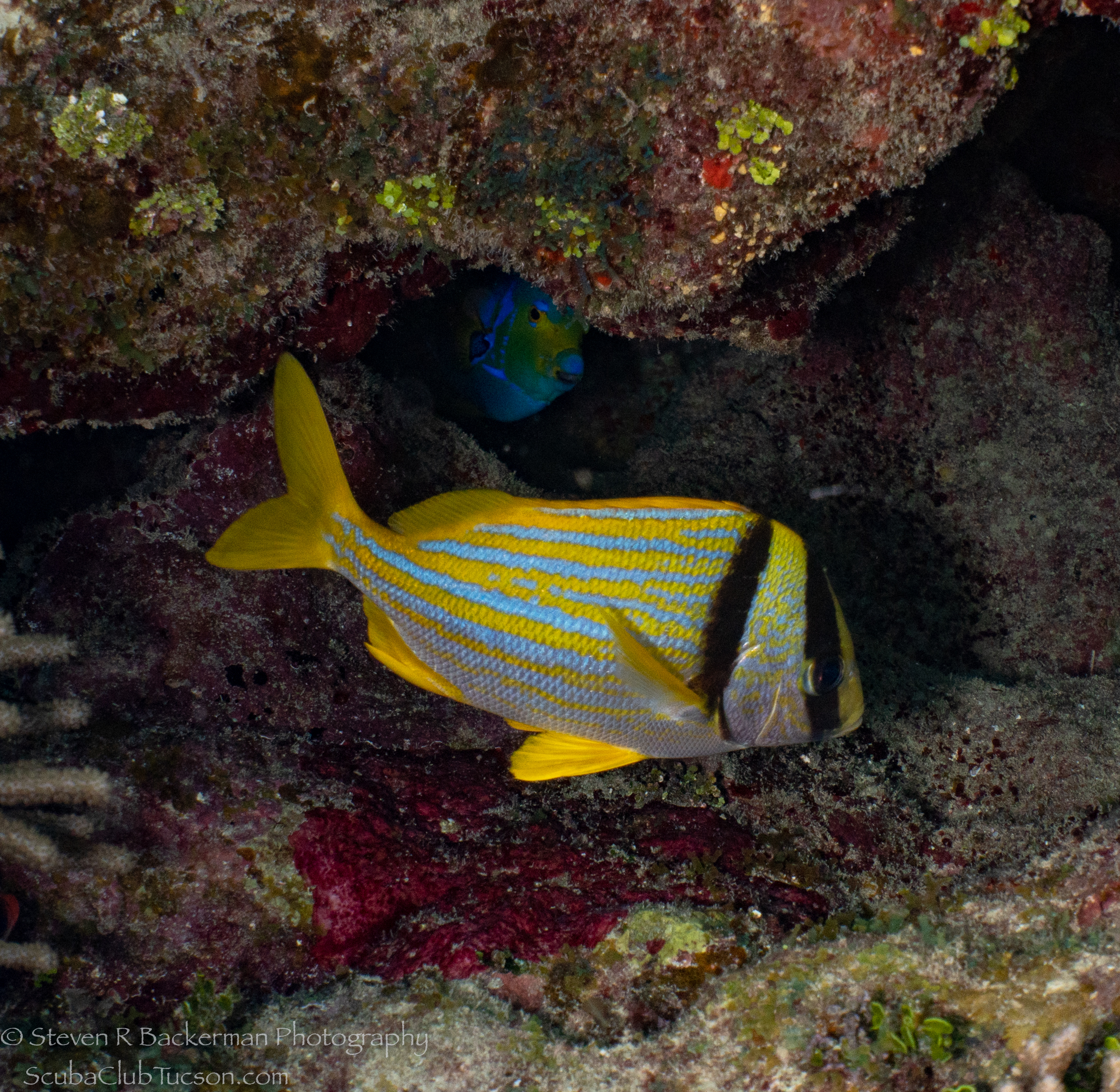 Porkfish-with-Queen-Angelfish-in-background-4136