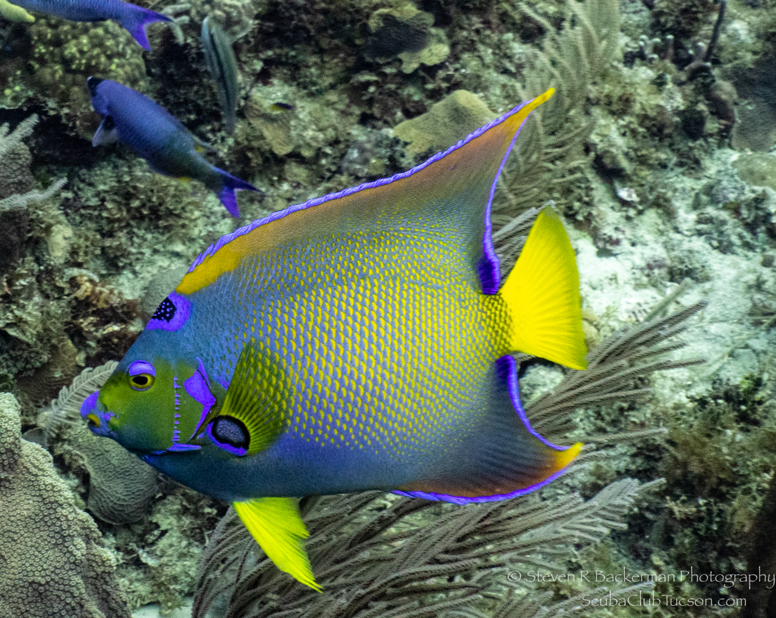 Queen-Angelfish-4729