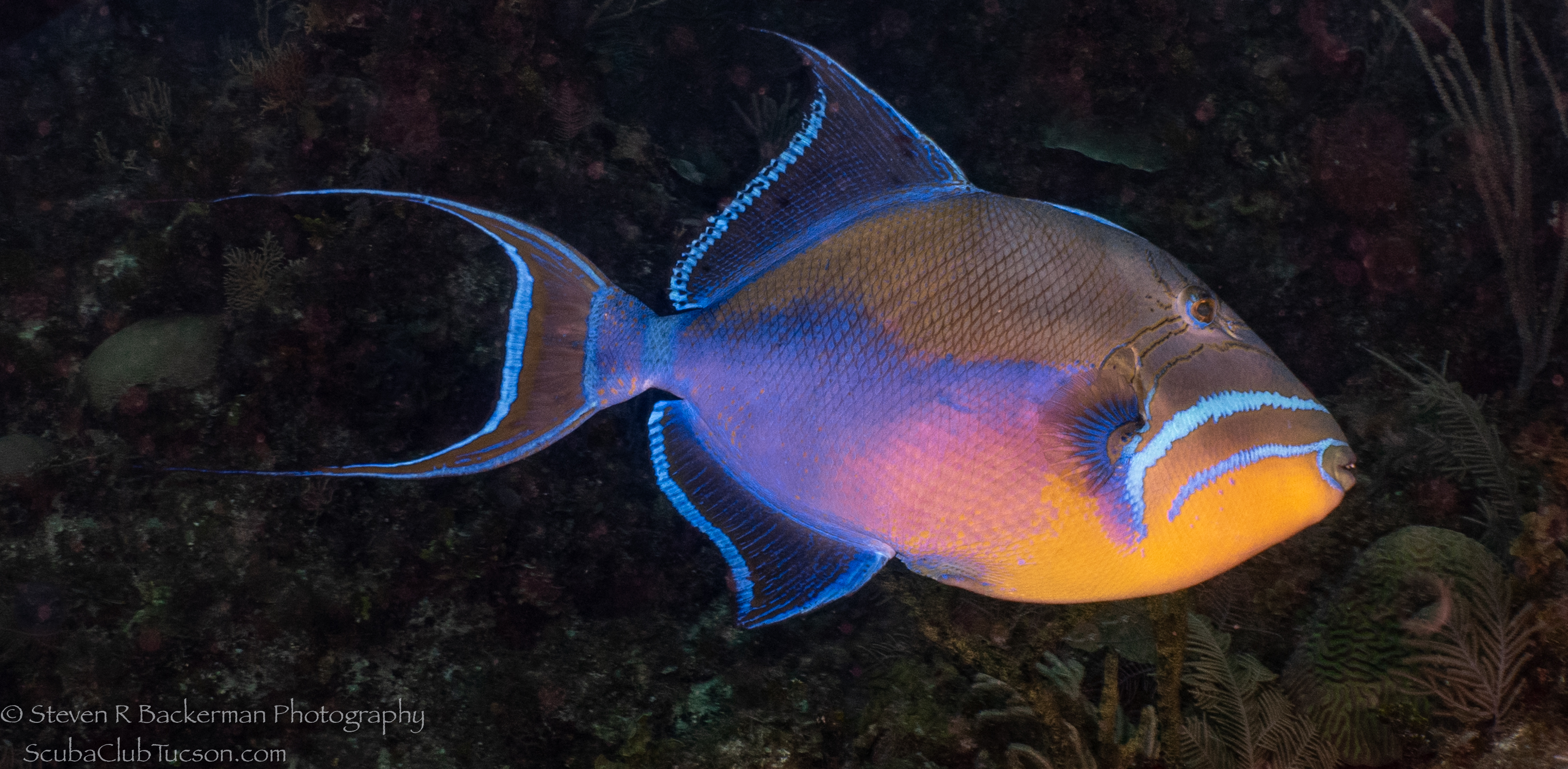 Queen-Triggerfish-3721