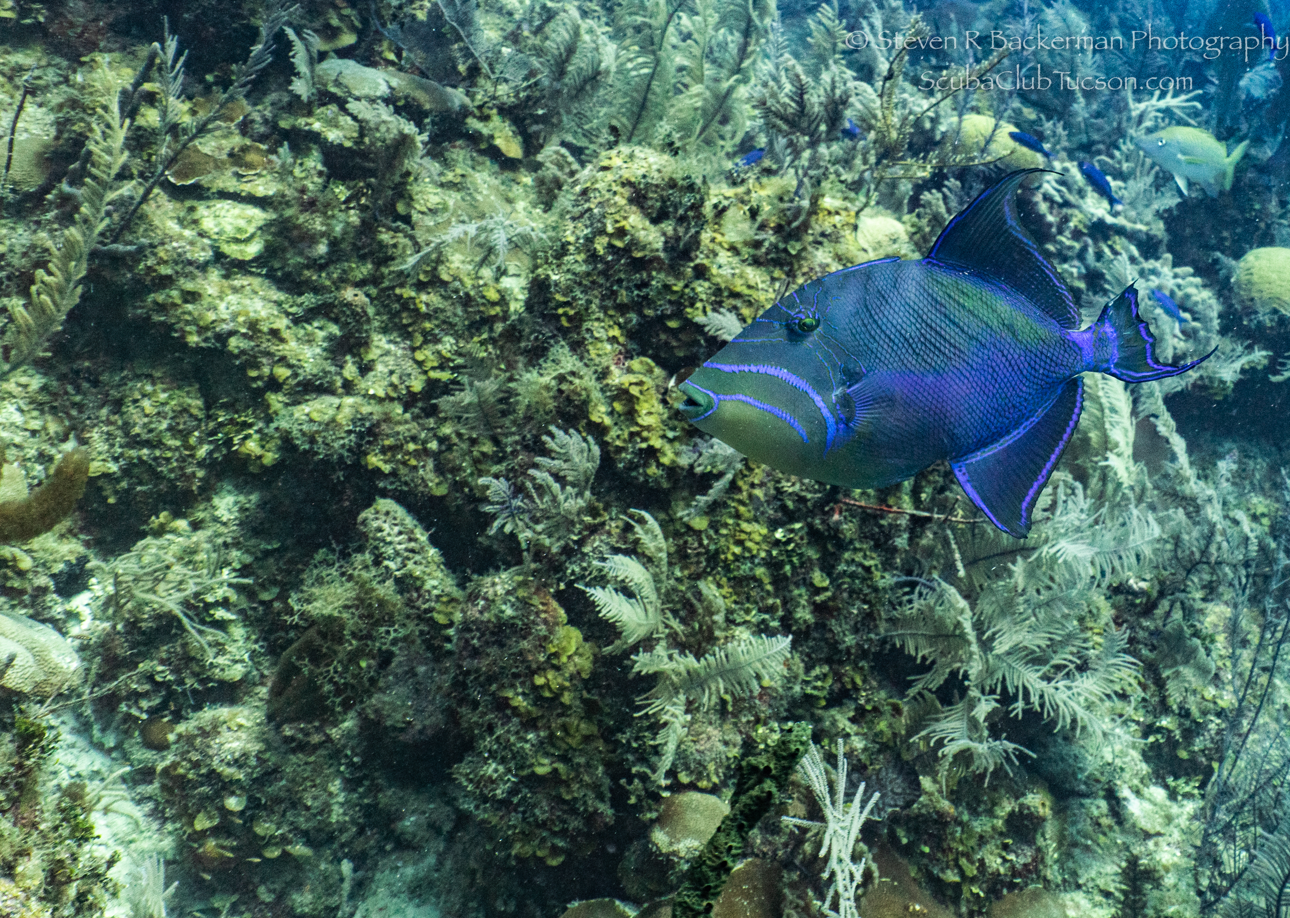 Queen-Triggerfish-4064