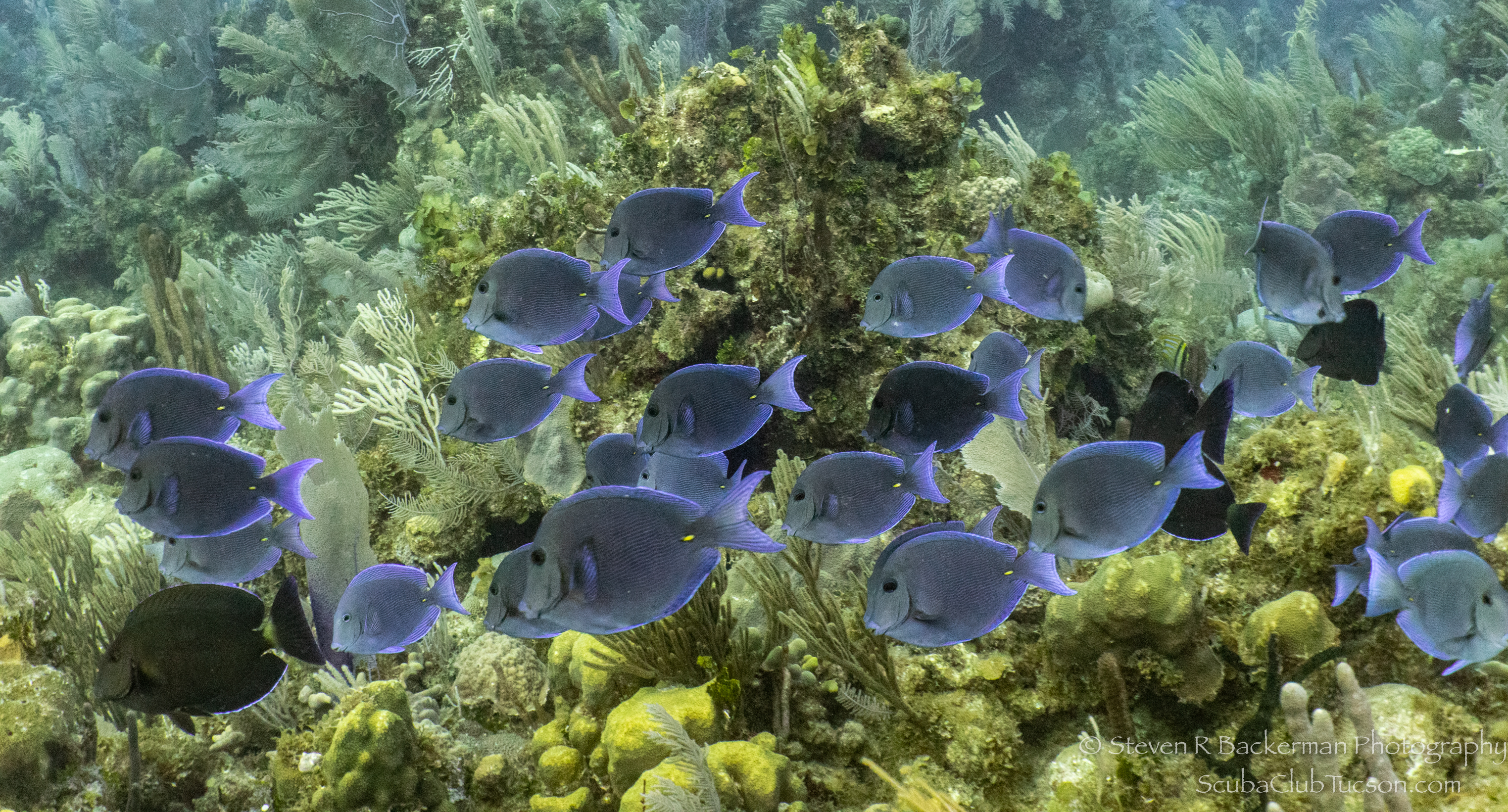 School-of-Blue-Tangs-and-some-Doctorfish-4718