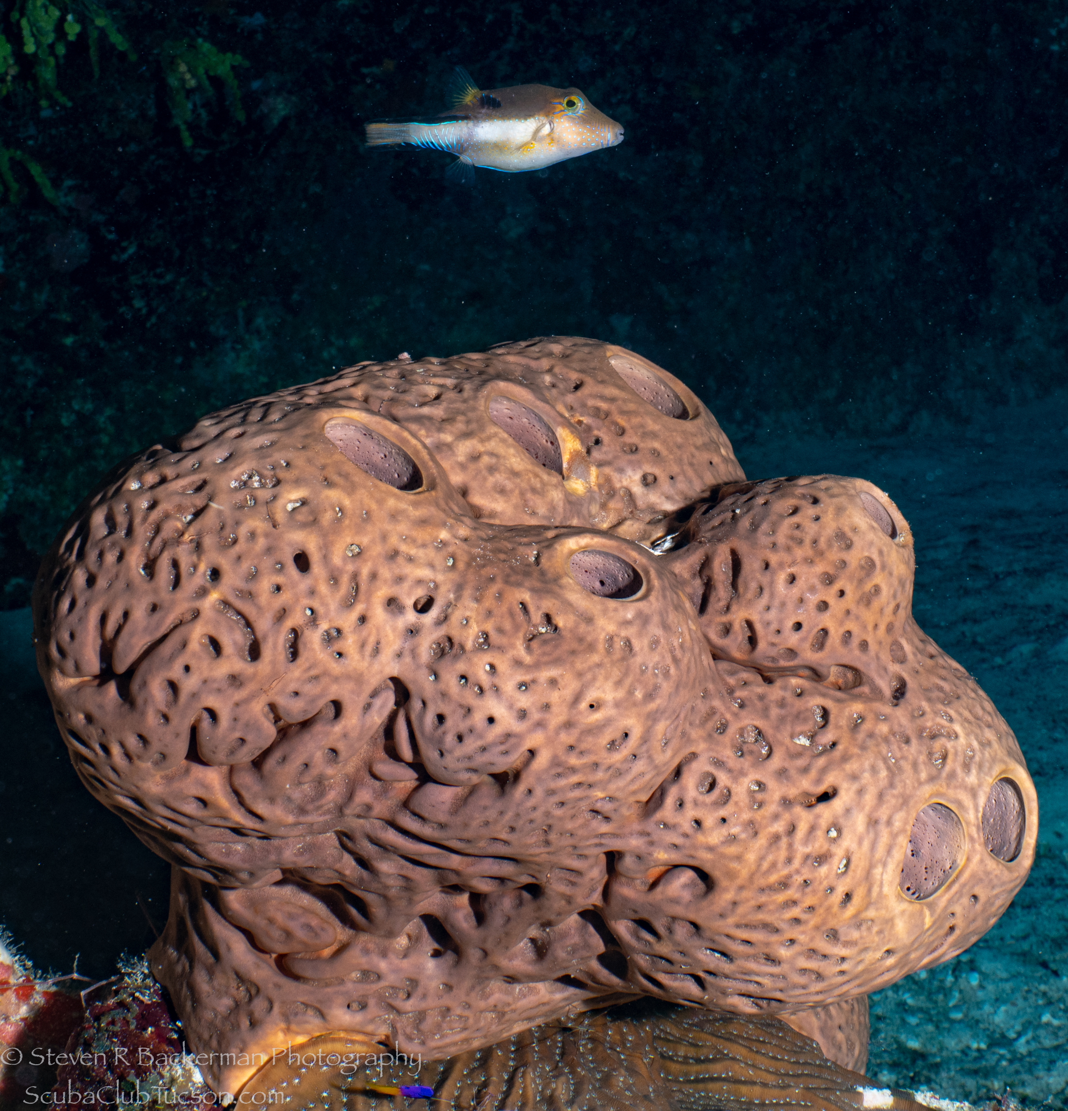 Sharpnose-Puffer-and-Volcano-Sponge-4410