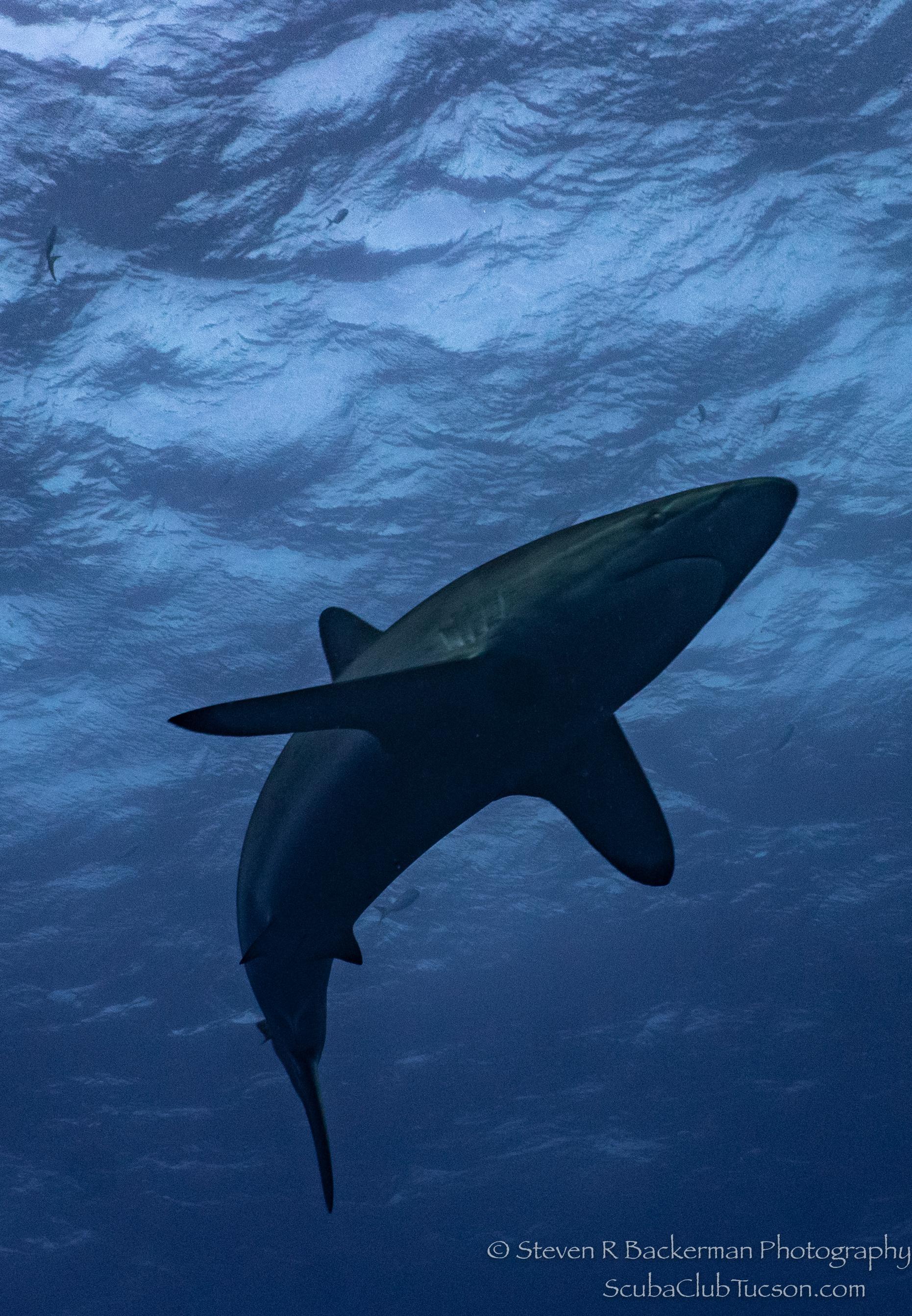 Silky-Shark-3786