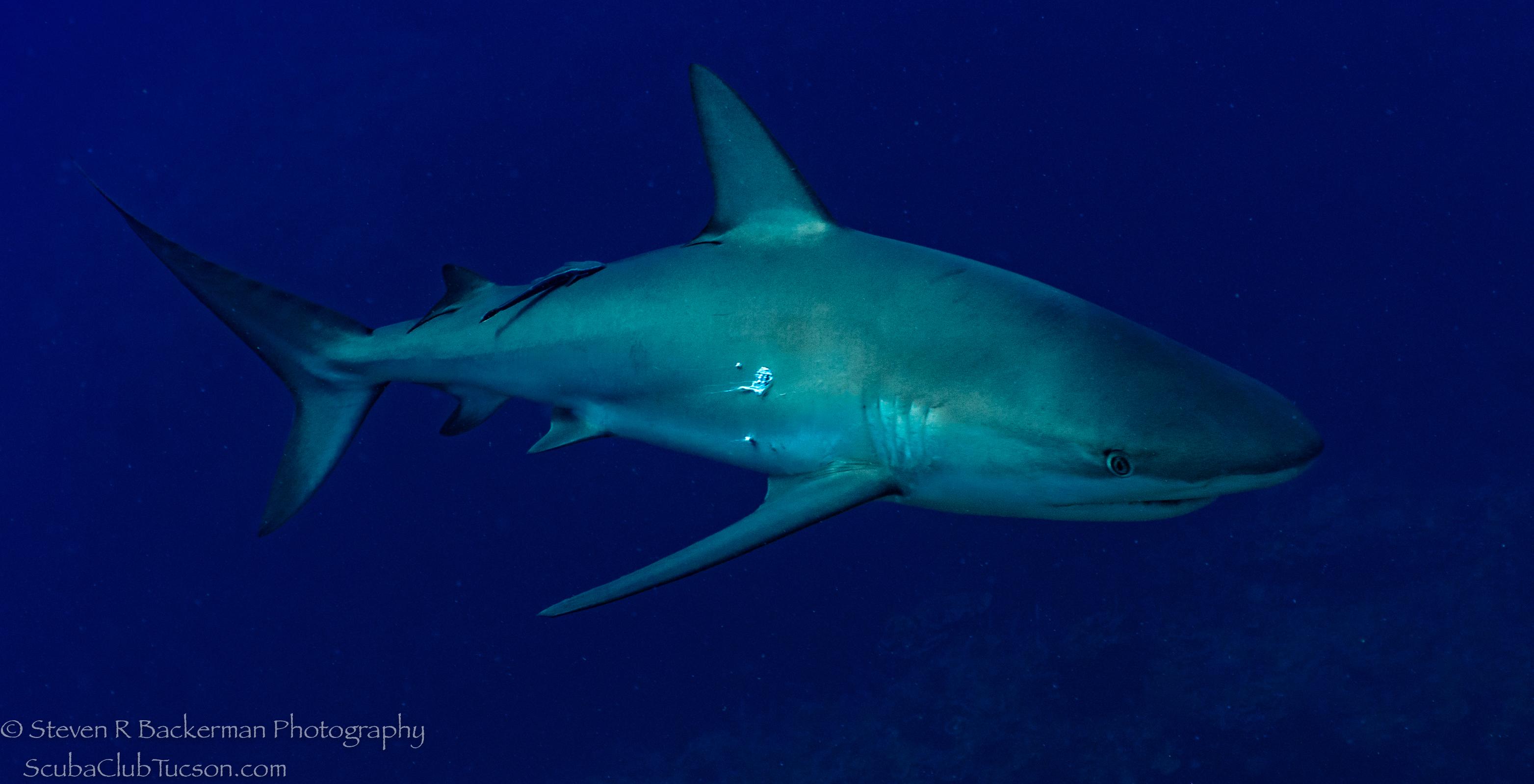 Silky-Shark-3879